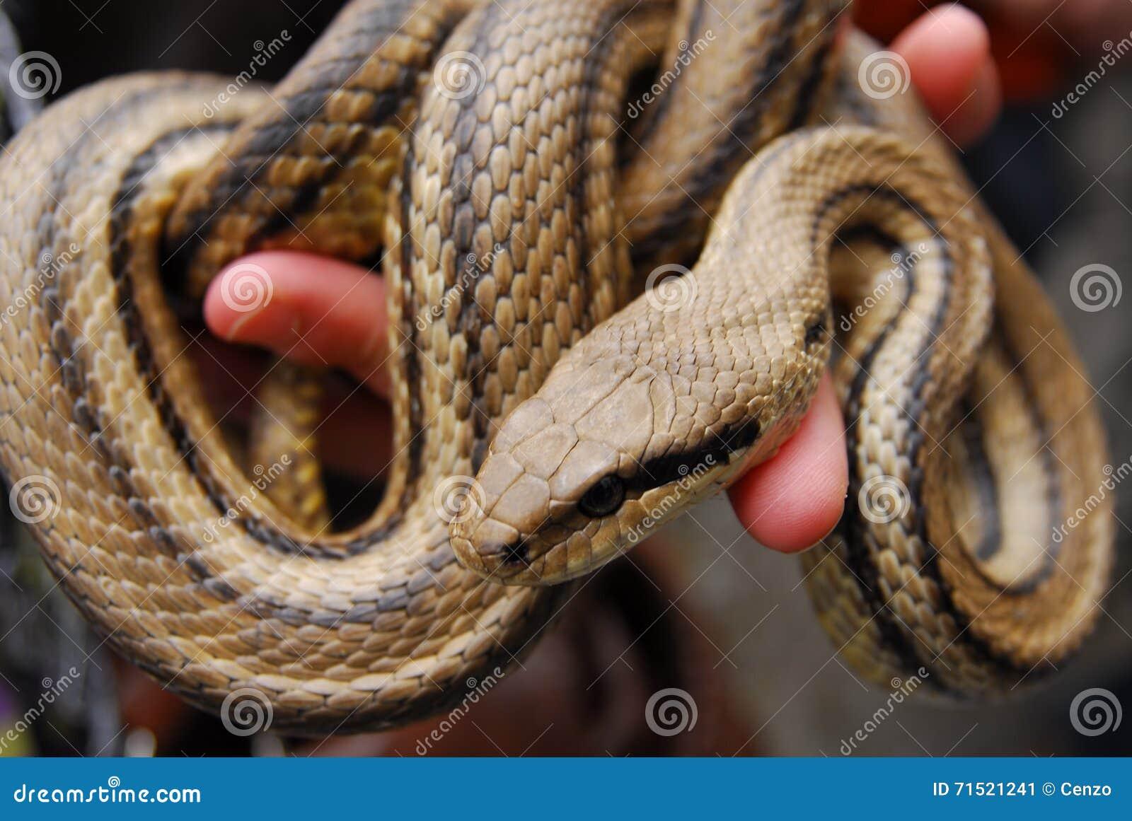 Festival of snakes cervone harmless snake stock image for Serpente cervone