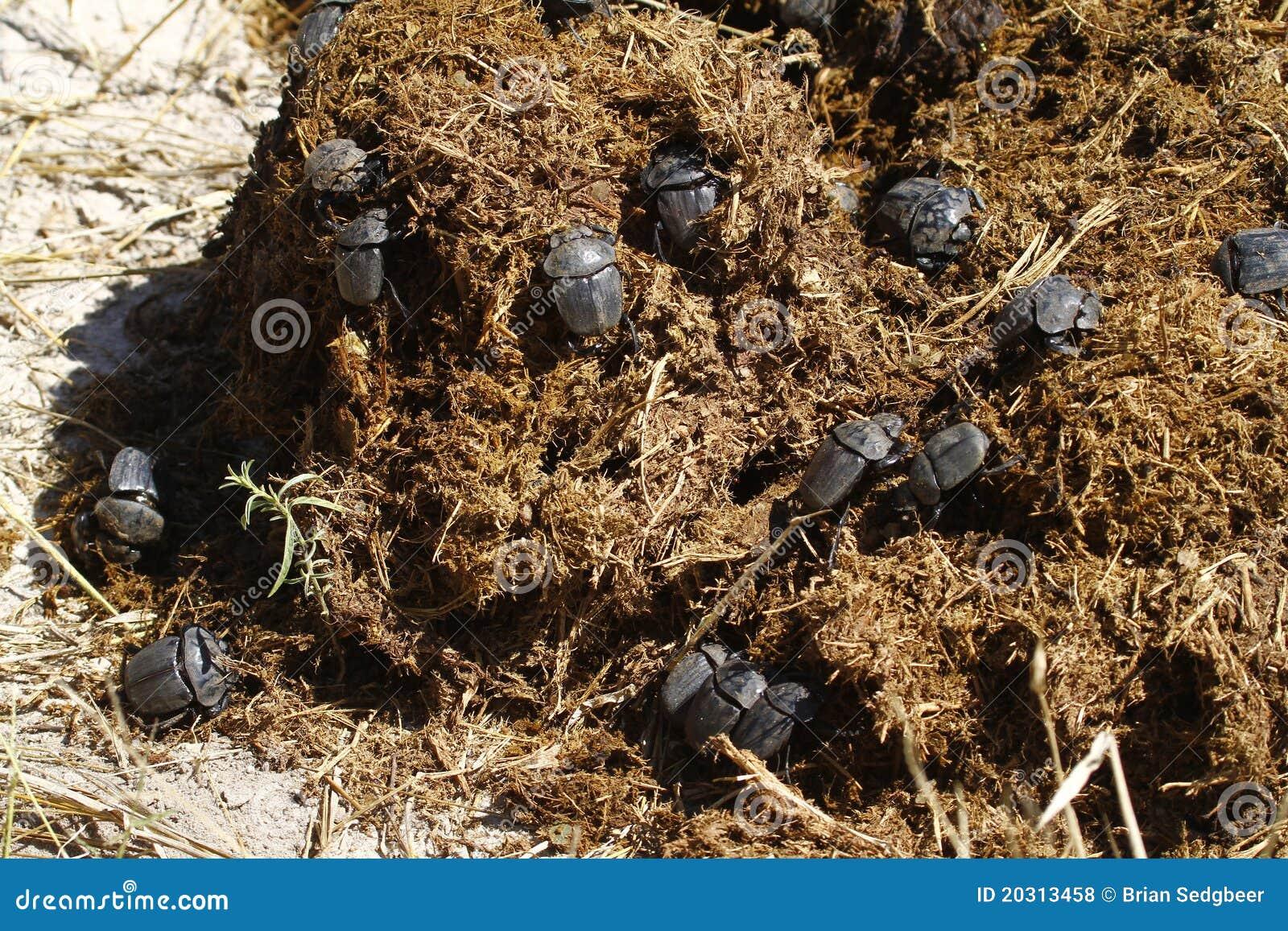 Festoiement de coléoptères de fumier