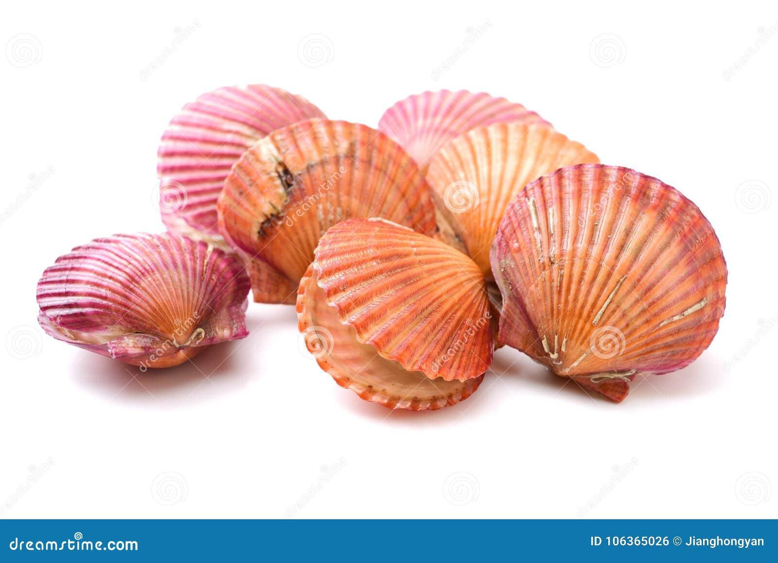Feston à Shell