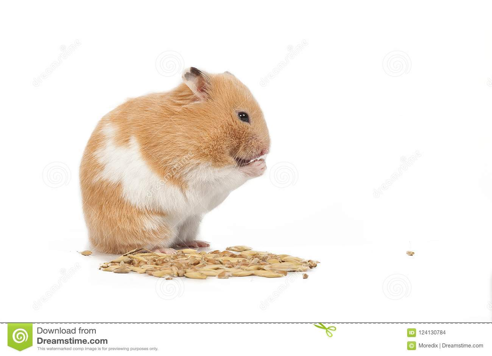 Tjock Hamster