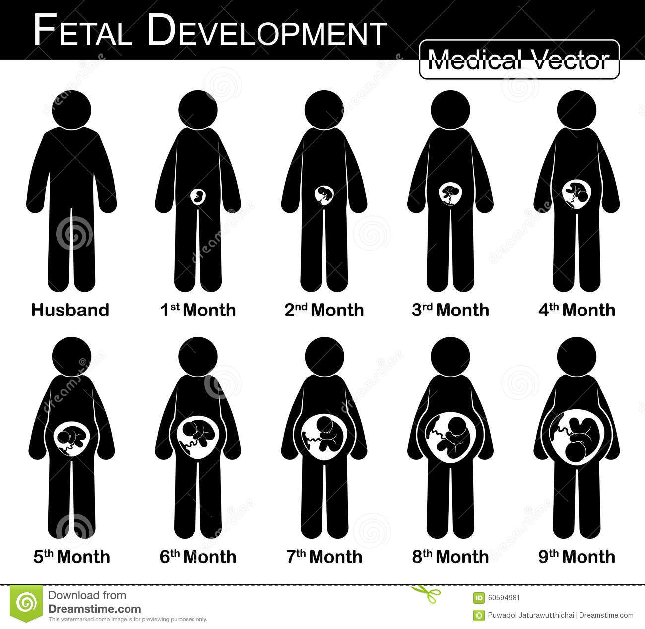 Fetal Development Pregnant Woman And Fetal Growth In Womb Stock