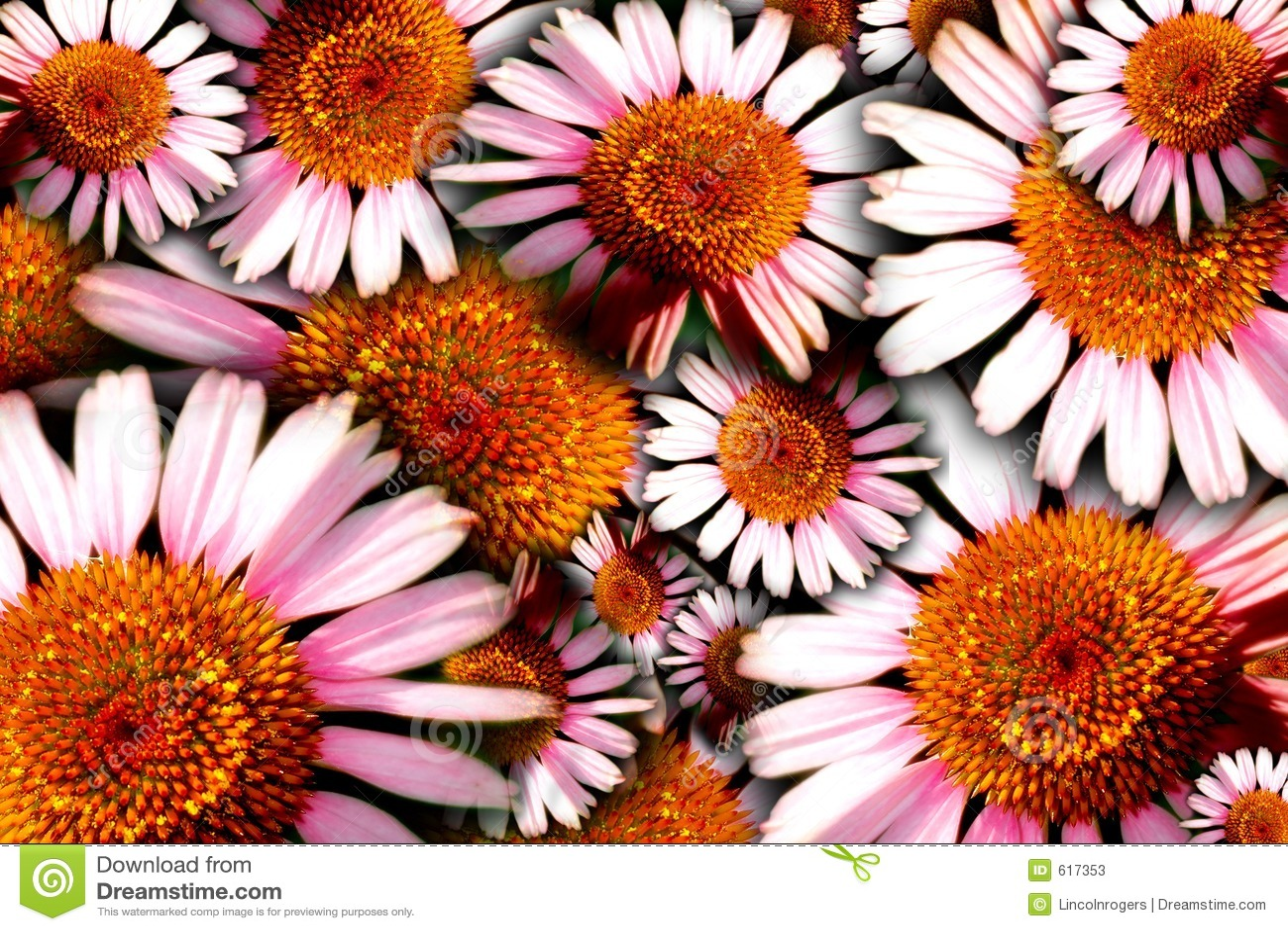 Fetter Blumenhintergrund (Echinacea)