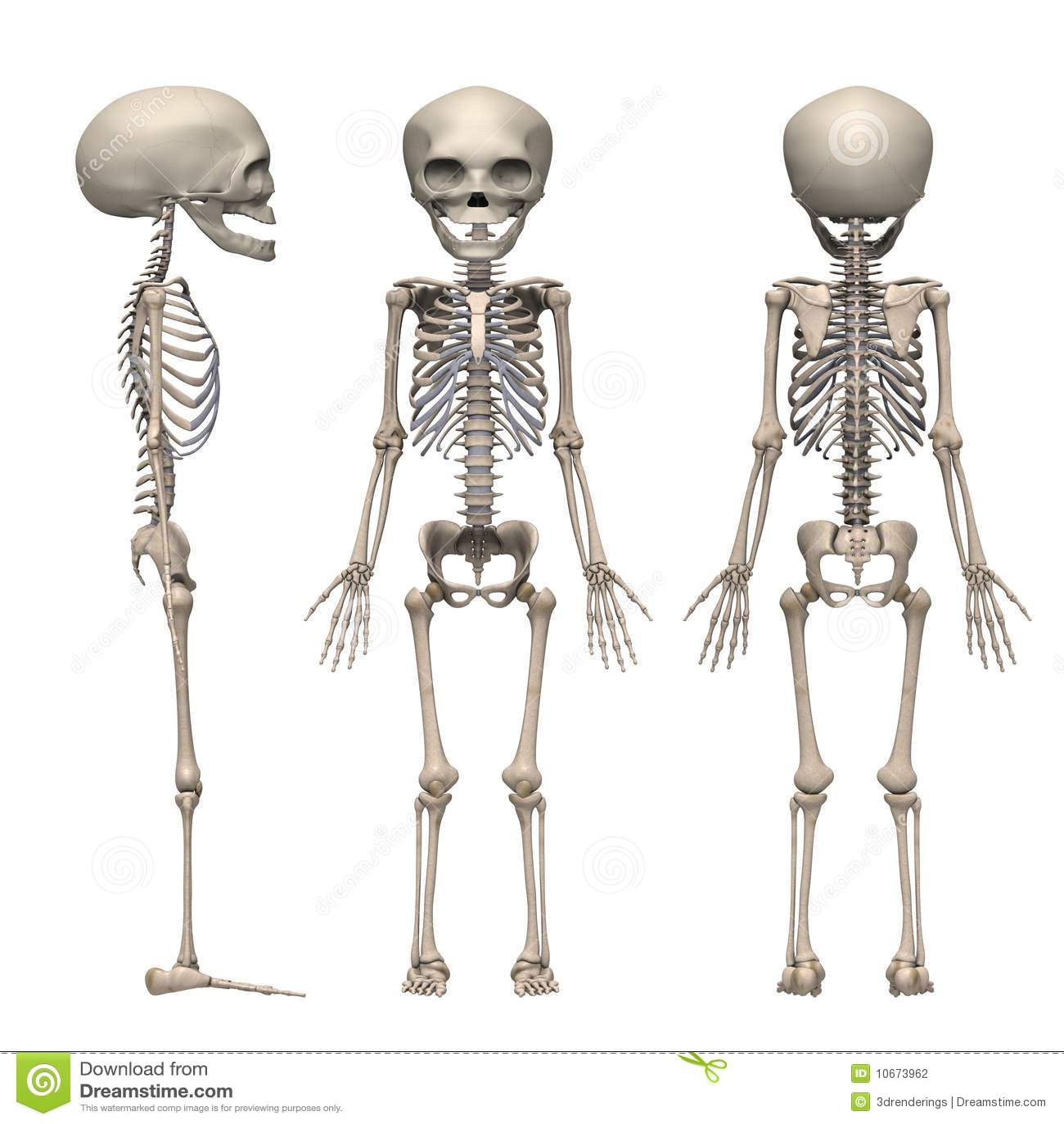 Fetus Skeleton Stock Photography Image 10673962