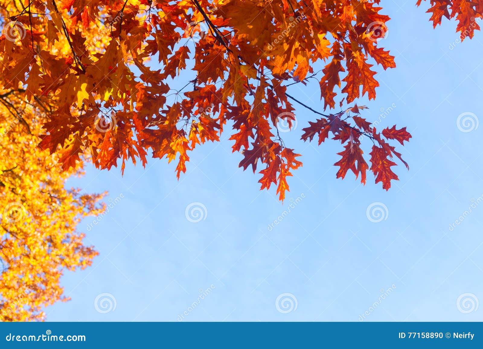 Feuillage d automne vibrant