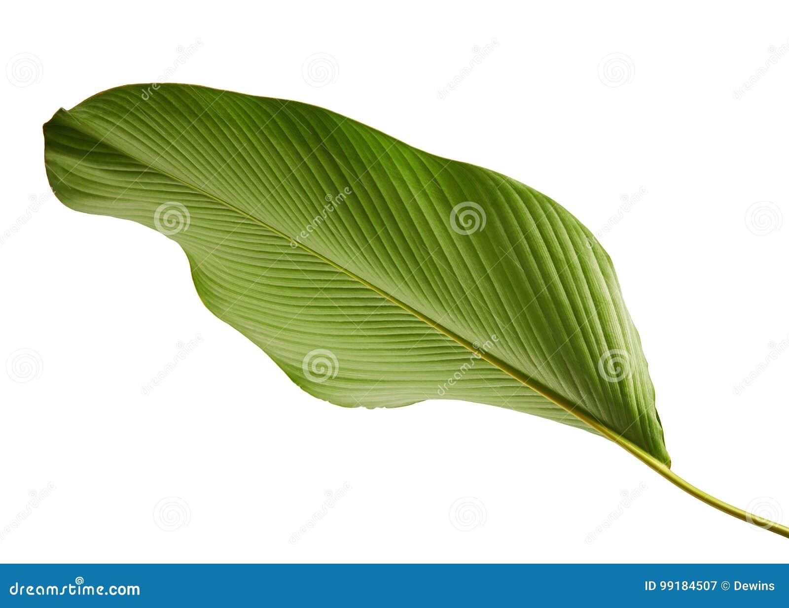 Feuillage de lutea de Calathea, cigare Calathea, cigare cubain, feuille tropicale exotique, feuille de Calathea, d isolement sur
