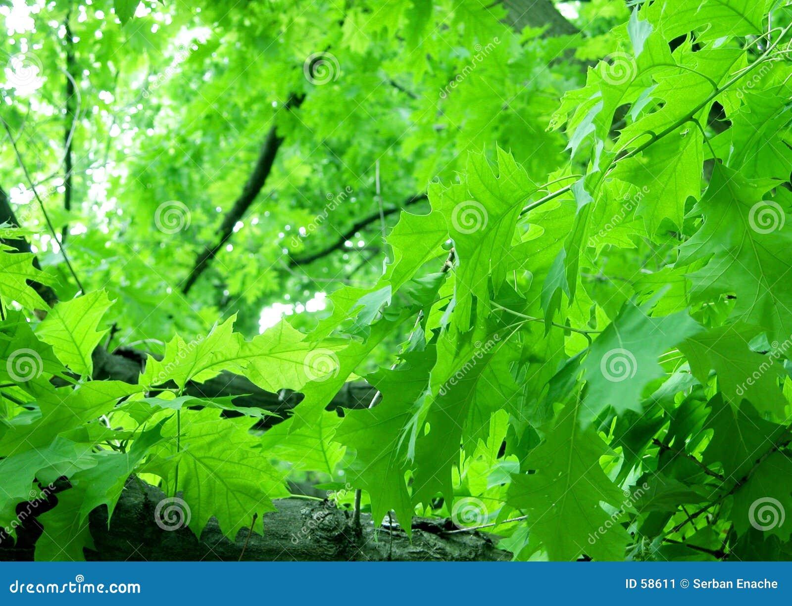 Download Feuillage vert image stock. Image du frais, chêne, lames - 58611