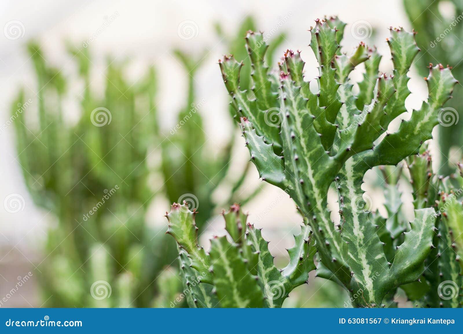 Download Feuille épineuse Verte De Cactus Dans Le Désert Image stock - Image du chaud, désert: 63081567