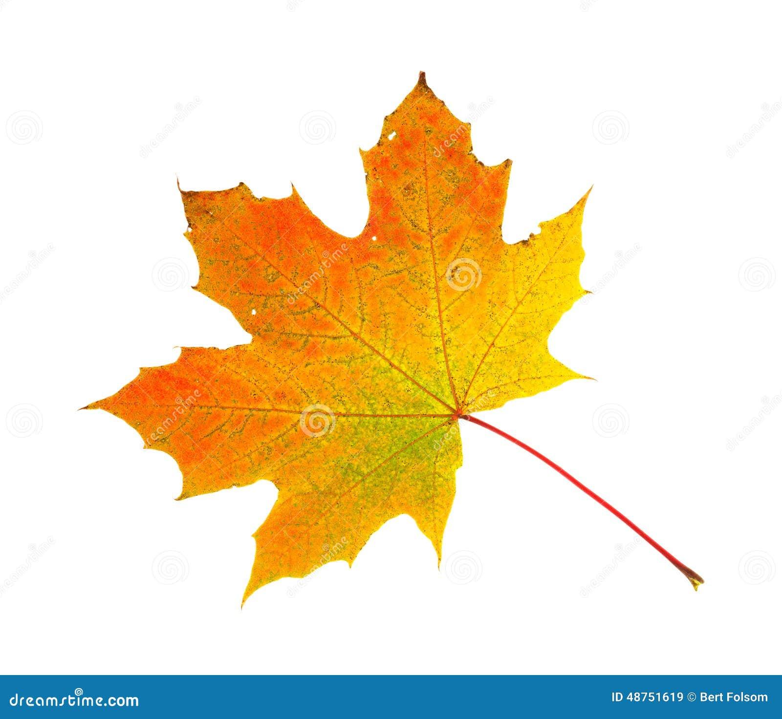 Feuille d 39 rable de feuillage d 39 automne image stock - Image feuille automne ...