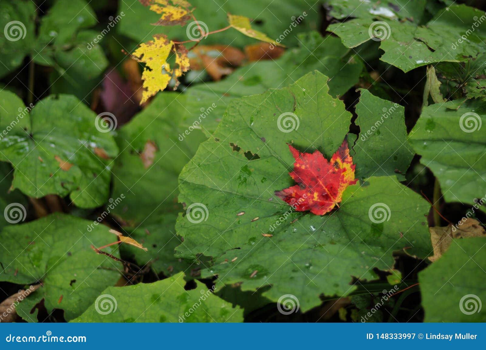 Feuille d érable rouge parmi les feuilles vertes