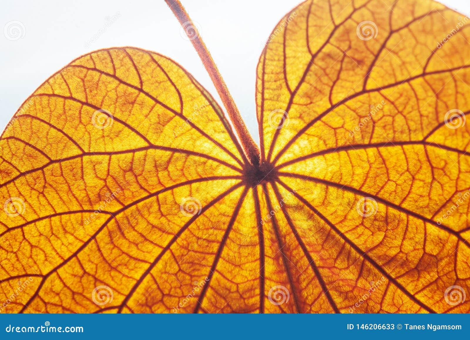 Feuille d or transparente abstraite avec la belle texture sur le fond blanc La feuille d or ou le Yan Da O est une vigne rare, in