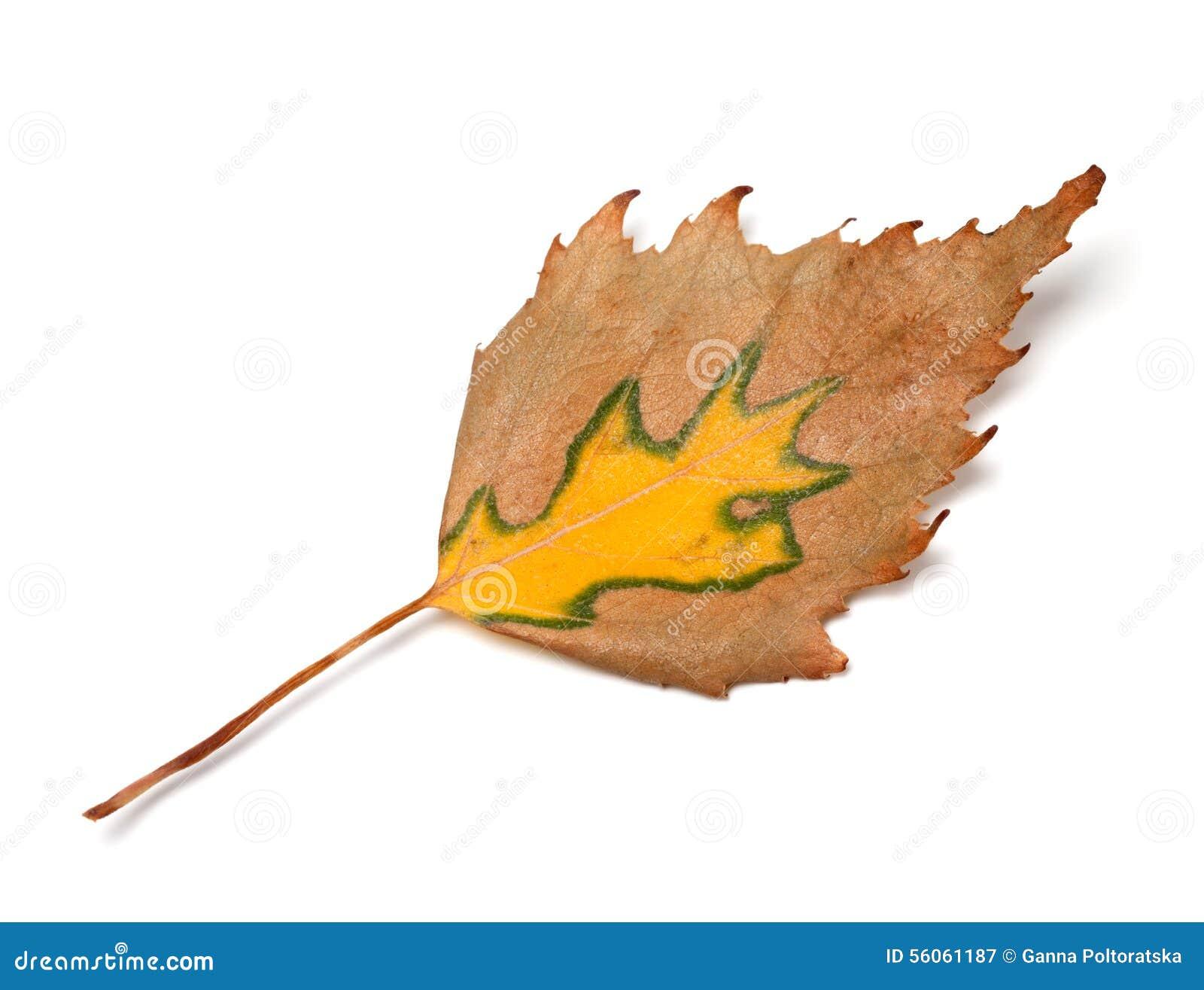 Feuille de bouleau d 39 automne image stock image 56061187 - Feuille de bouleau photo ...