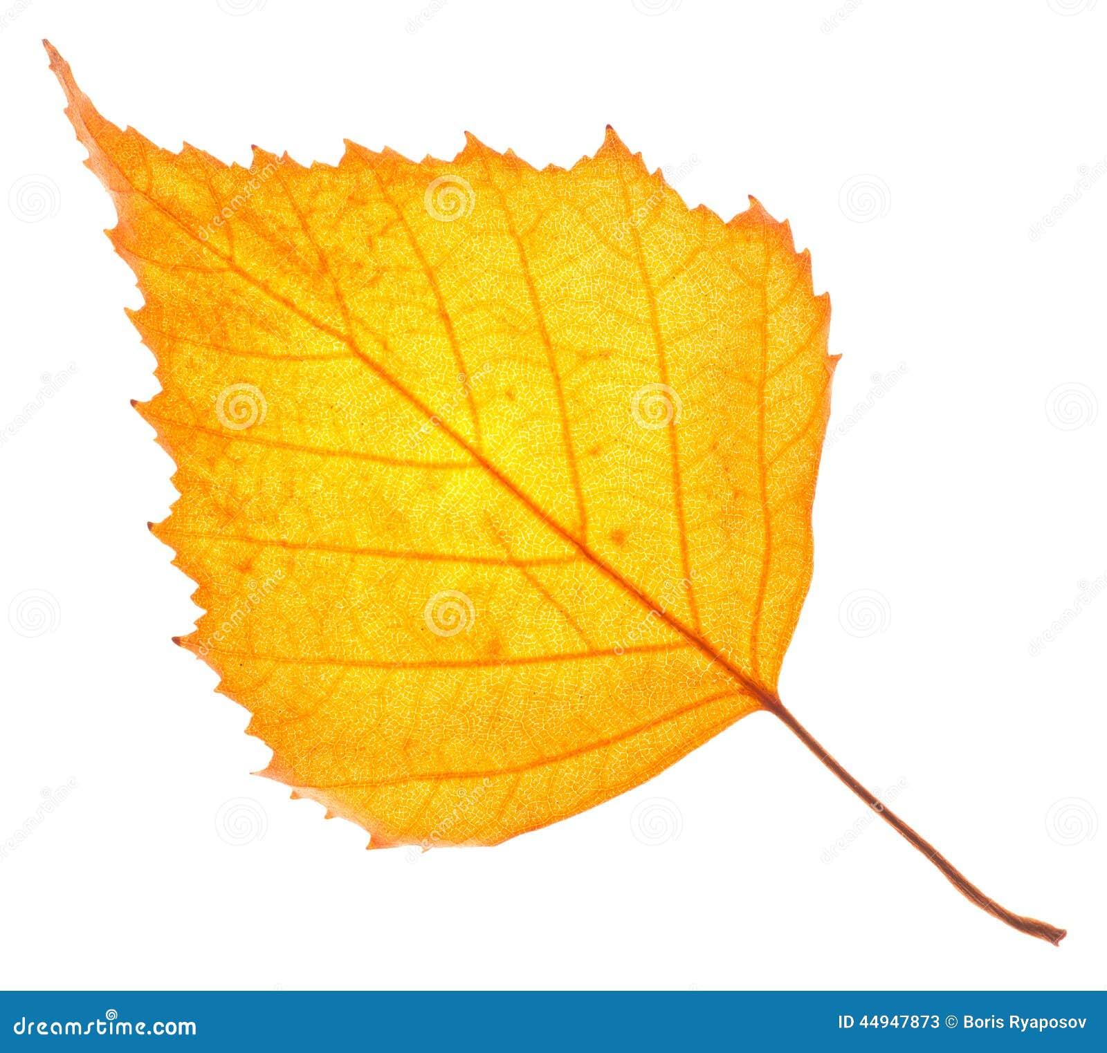 Feuille de bouleau jaune d 39 isolement photo stock image 44947873 - Feuille de bouleau photo ...