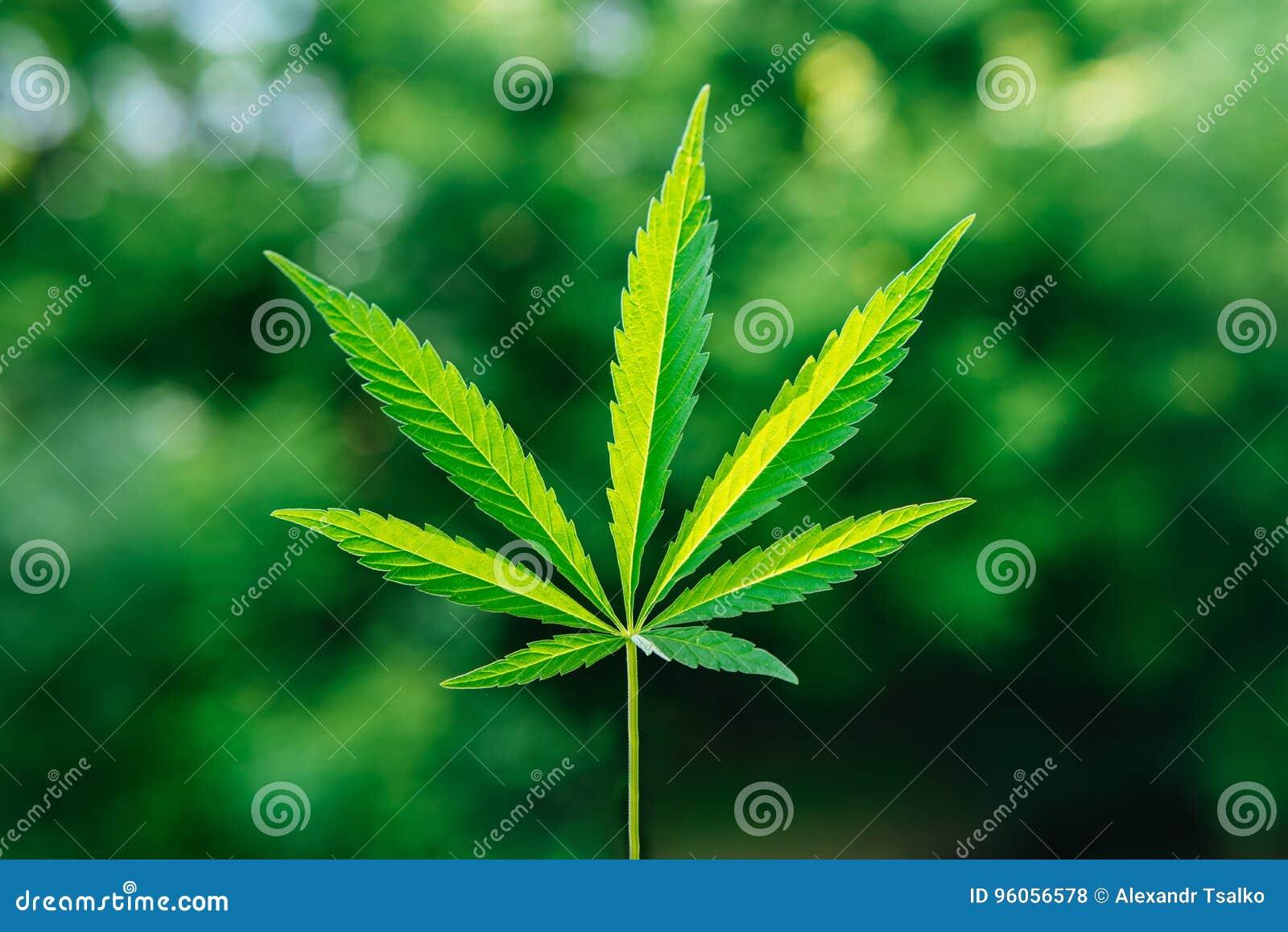 Feuille de cannabis sur un fond vert