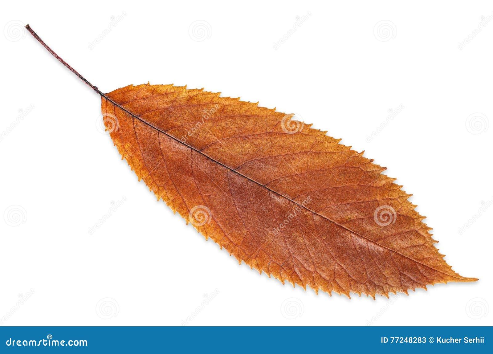 Feuille de chute de brun d automne d isolement sur le blanc, manière dans le chemin
