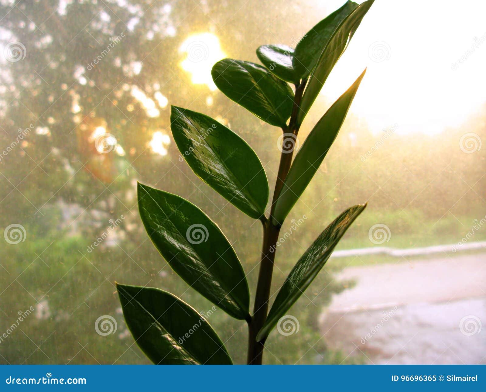 Feuille de fleur d usine de maison de zamiofolia de Zamioculcas sur la photo sèche de fond d éclat du soleil de gouttes de pluie