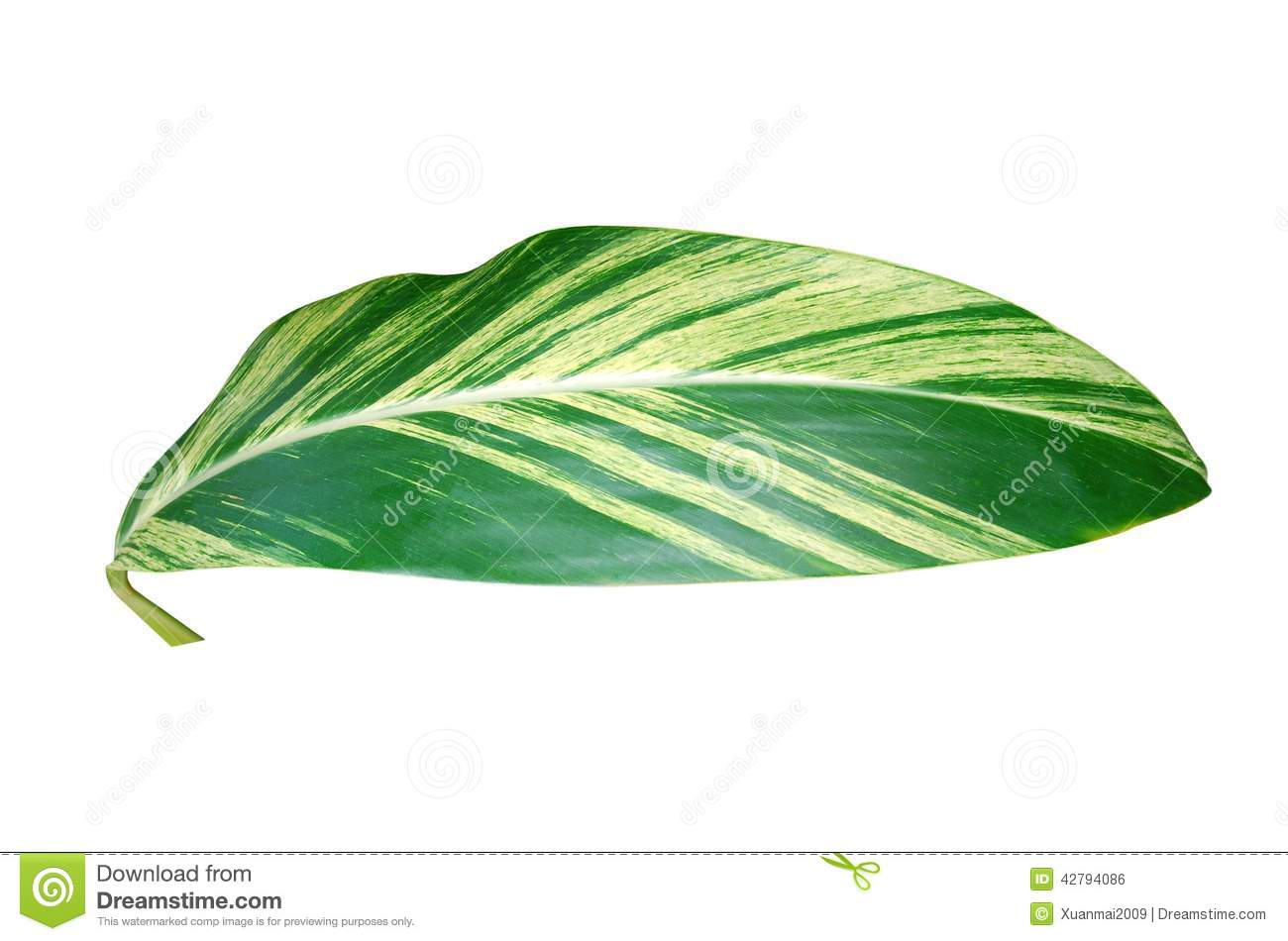 Feuille de plante dintrieur verte photo stock image 42794086 feuille de plante d intrieur verte altavistaventures Image collections