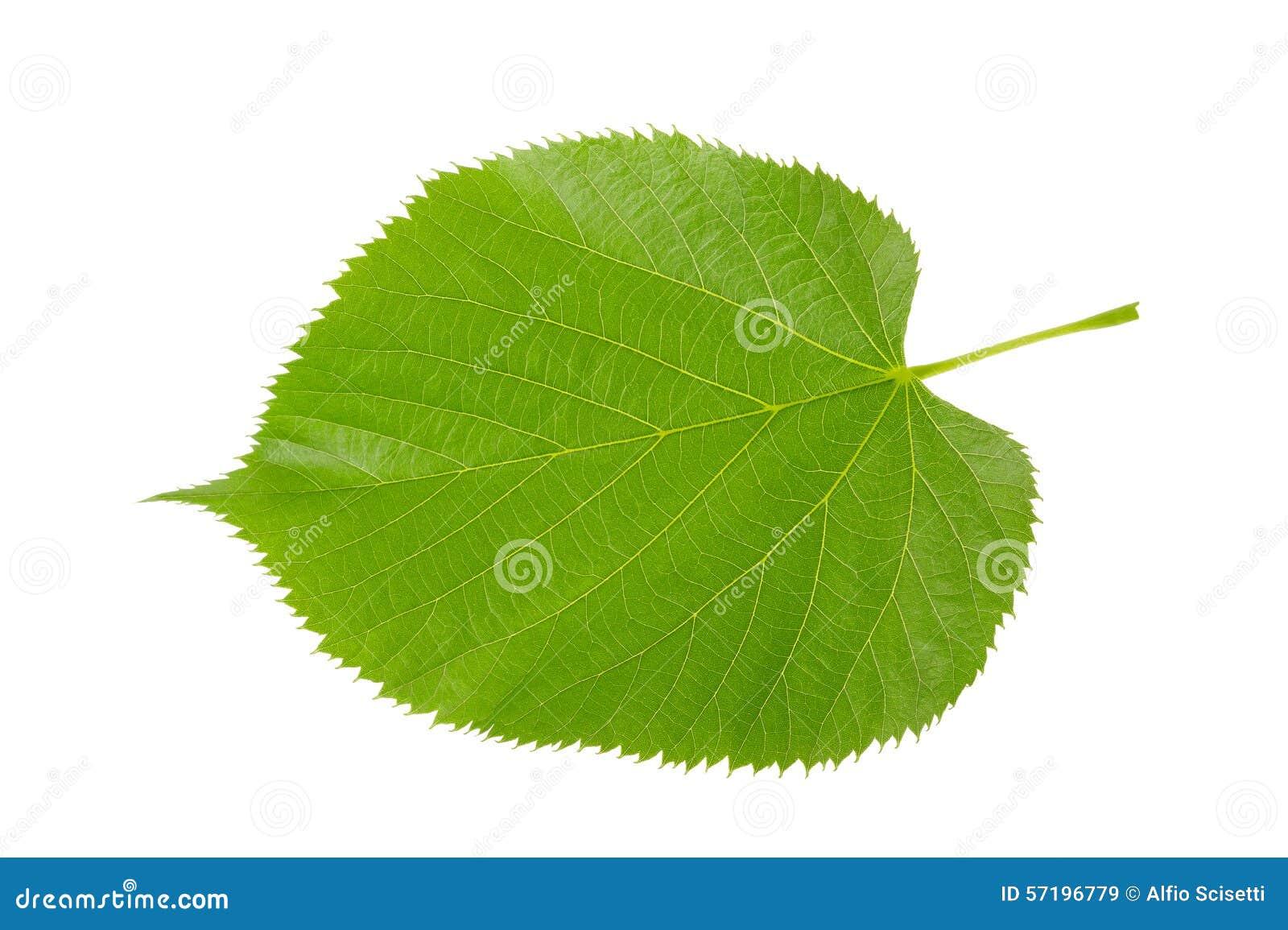 feuille de tilleul image stock image du herbe normal 57196779. Black Bedroom Furniture Sets. Home Design Ideas
