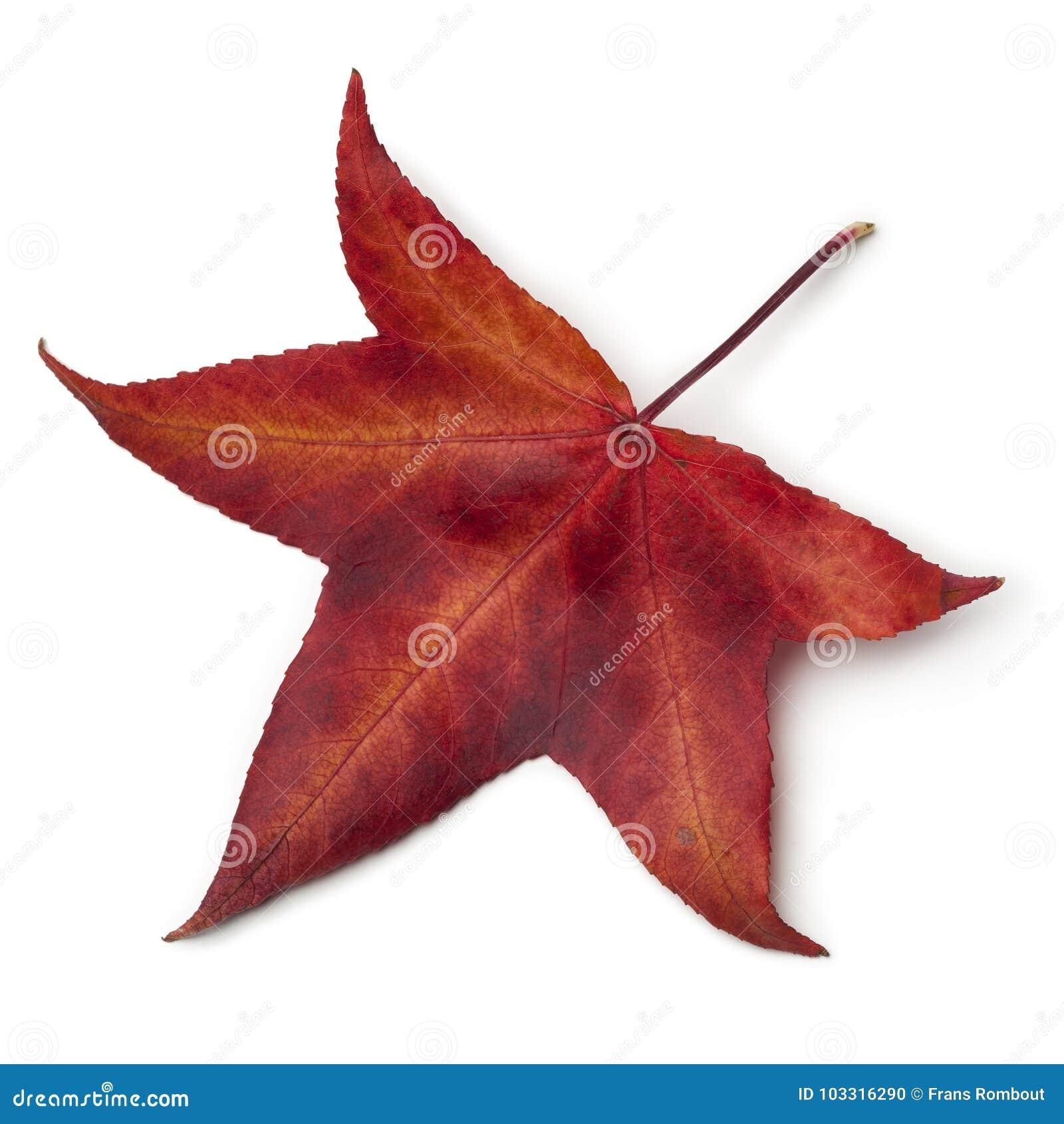 feuille rouge d'automne d'un arbre américain de sweetgum photo stock