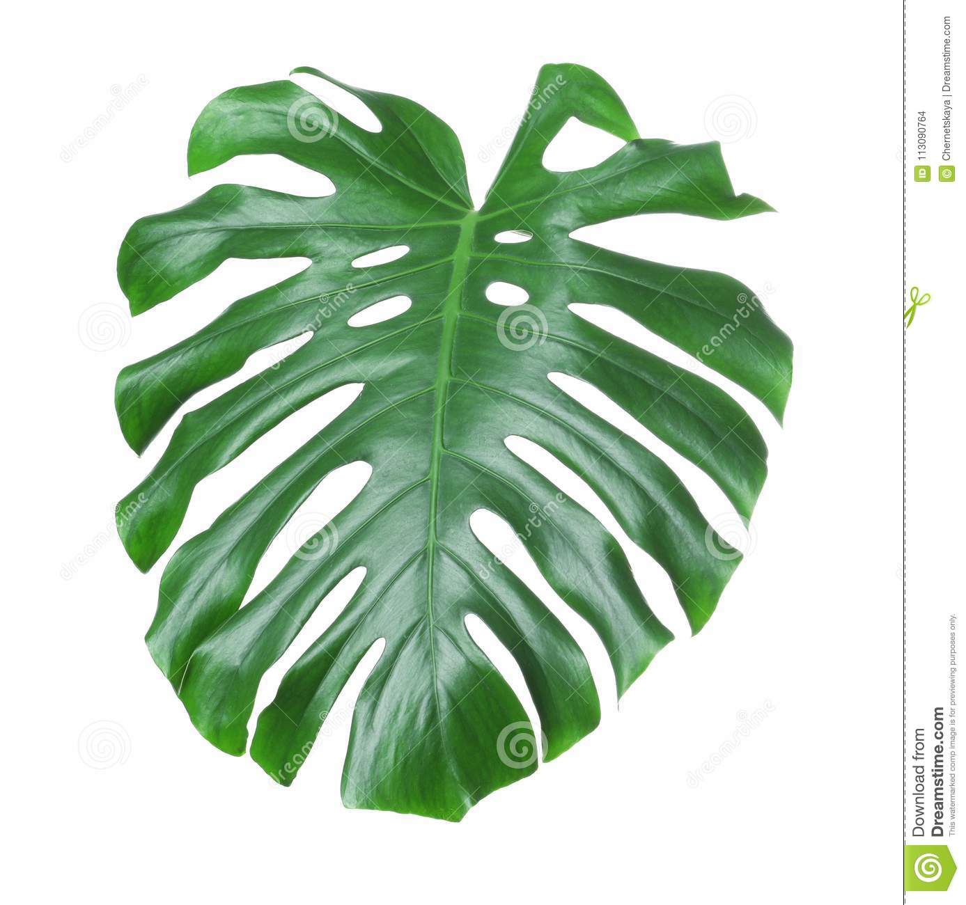 feuille tropicale de monstera stock images 179 photos. Black Bedroom Furniture Sets. Home Design Ideas