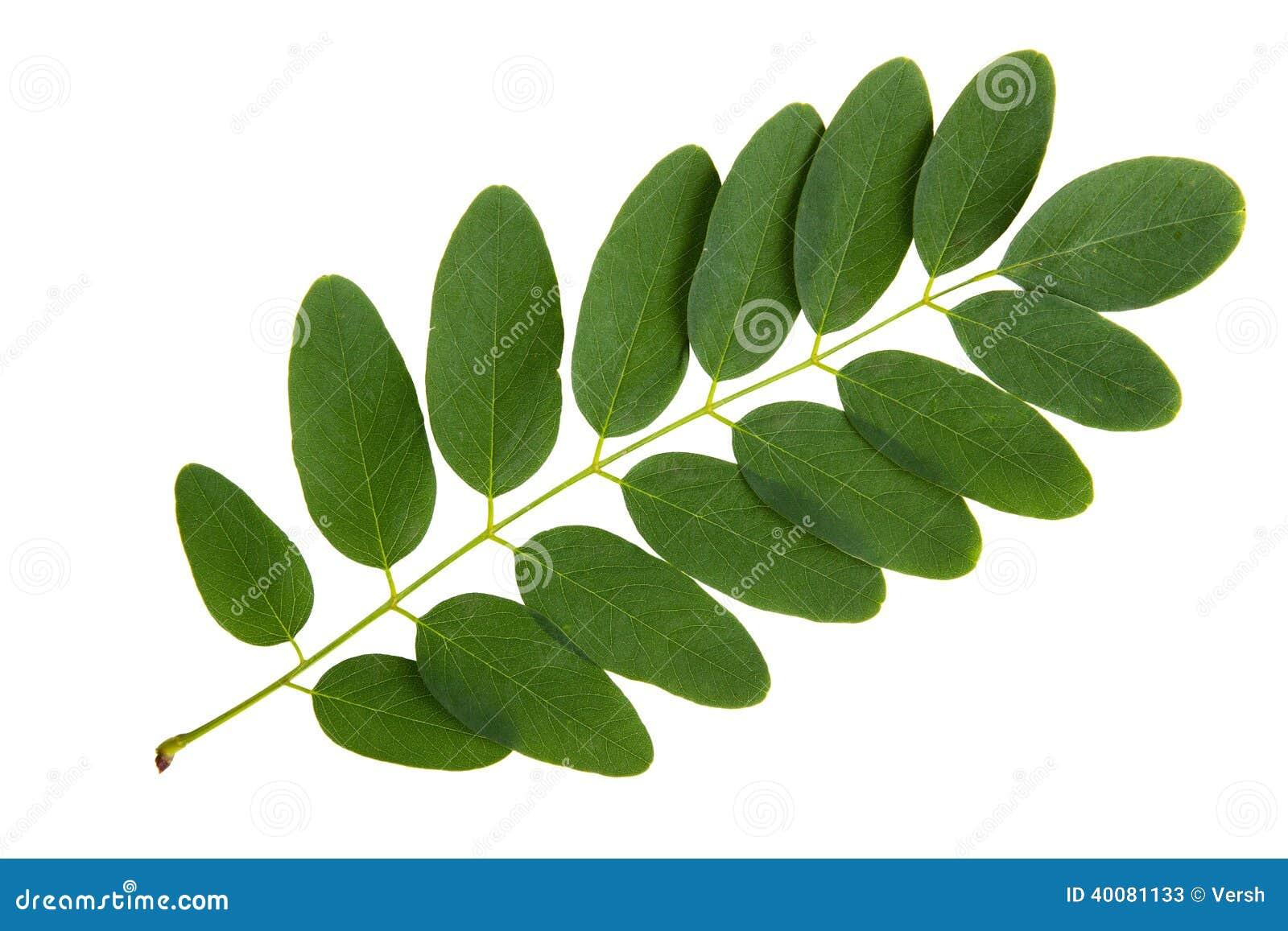 feuille verte d 39 arbre d 39 acacia image stock image du. Black Bedroom Furniture Sets. Home Design Ideas