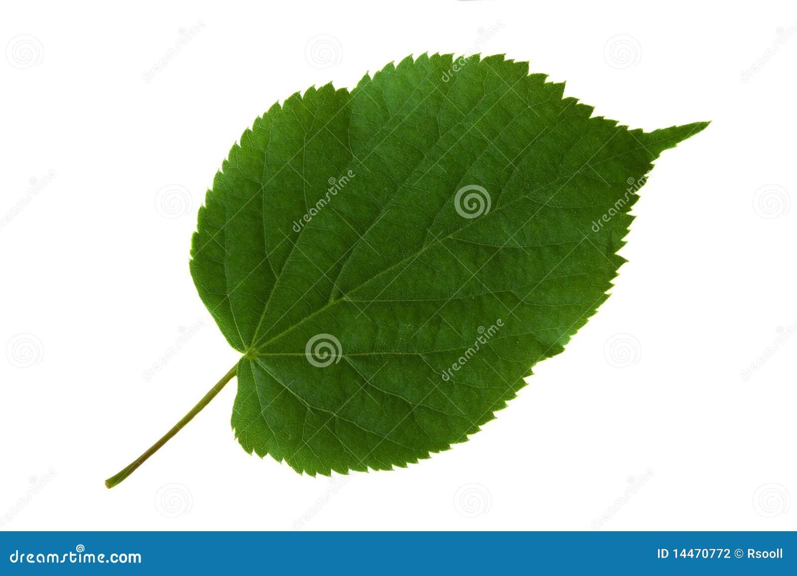 feuille verte d 39 un arbre photographie stock image 14470772. Black Bedroom Furniture Sets. Home Design Ideas