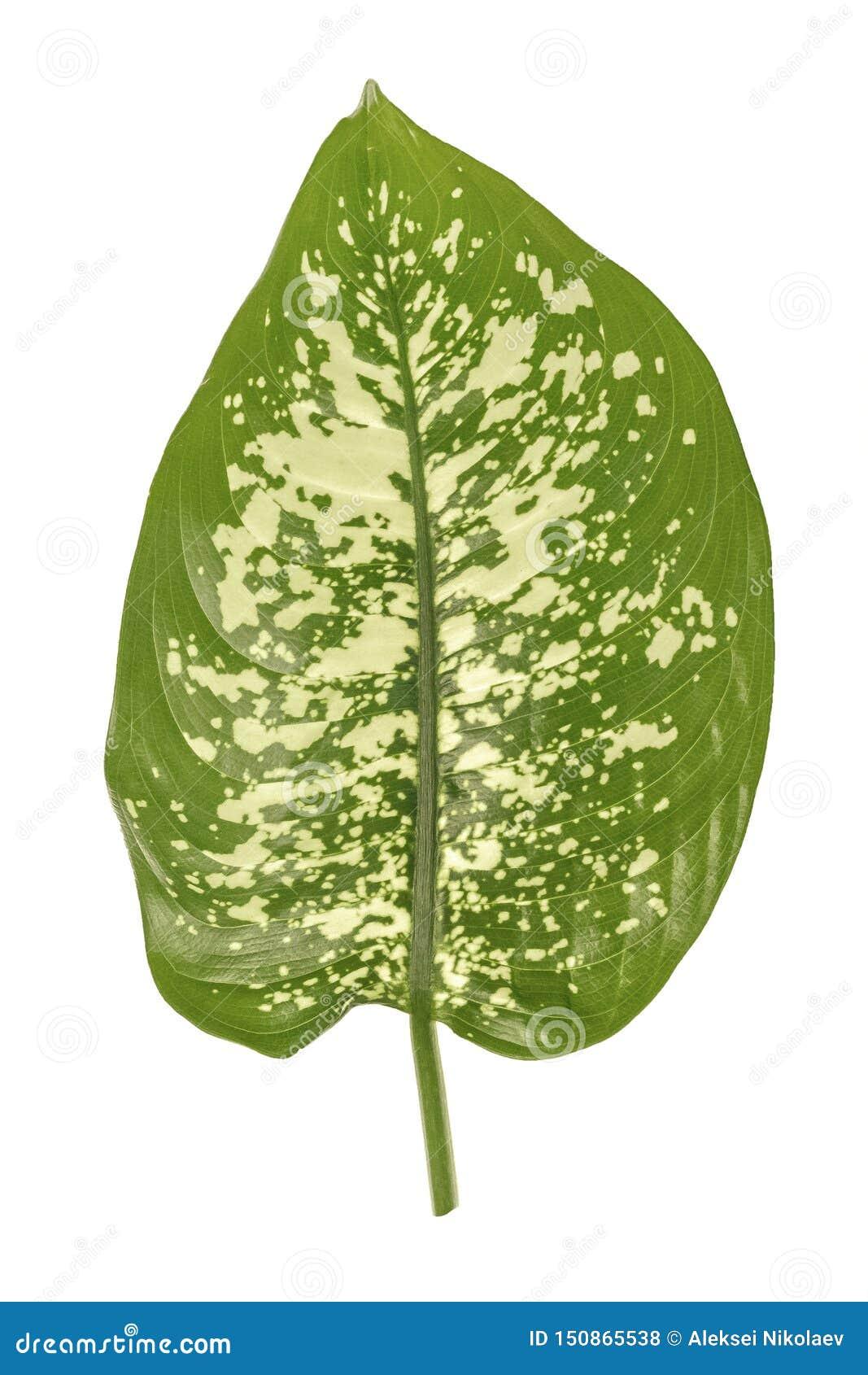Feuille verte de dieffenbachia, canne muette, contenant les taches et les taches blanches Feuillage tropical d isolement sur le f