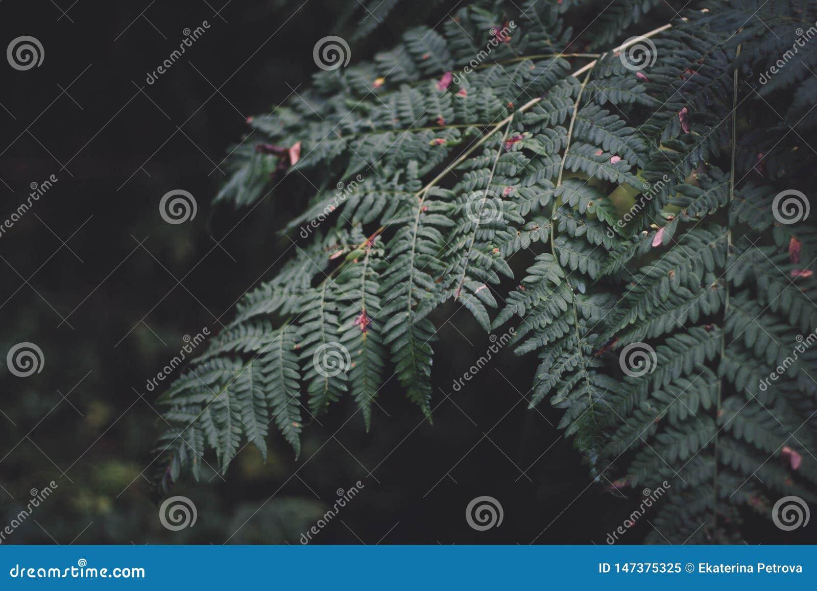 Feuille verte de foug?re sur le fond fonc? Fougère dans la végétation verte tropicale de forêt