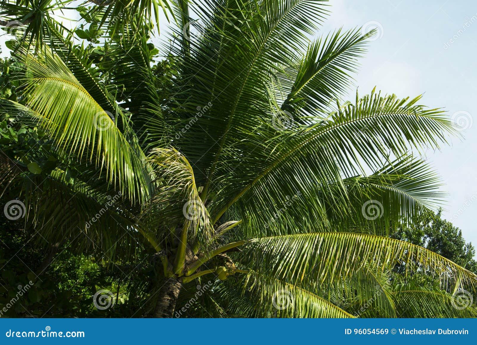Feuille verte de palmier avec la noix de coco Photo de nature de bord de la mer de voyage d été