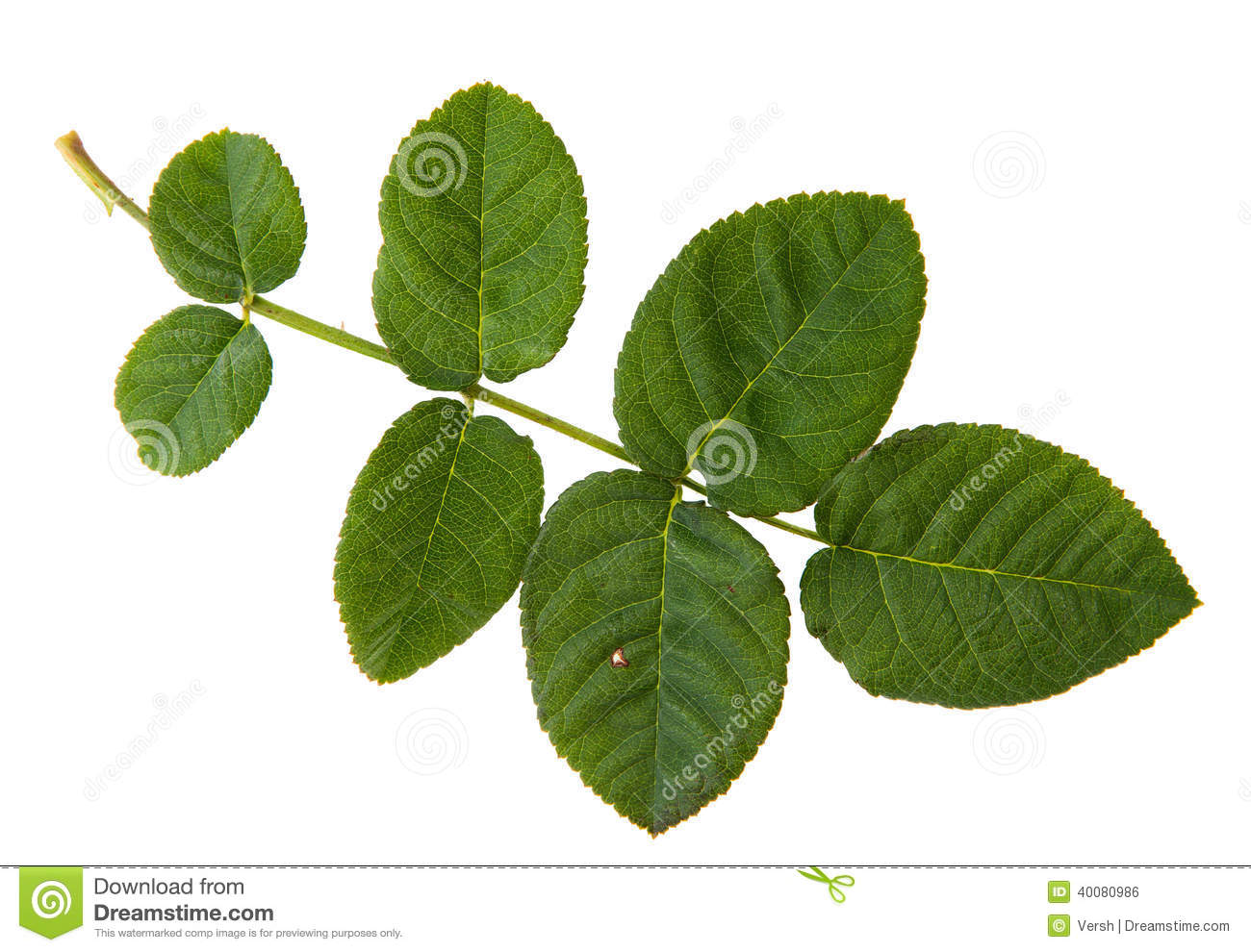 Feuille verte de rosier d 39 isolement sur le backgr blanc photo stock image 40080986 - Feuilles de rosier qui jaunissent ...