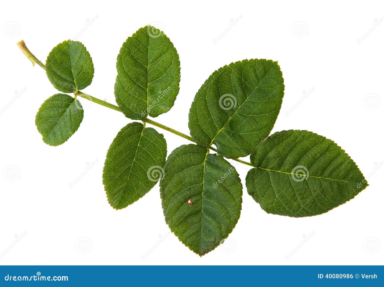 Feuille verte de rosier d 39 isolement sur le backgr blanc photo stock image 40080986 - Feuilles de rosier qui jaunissent ...