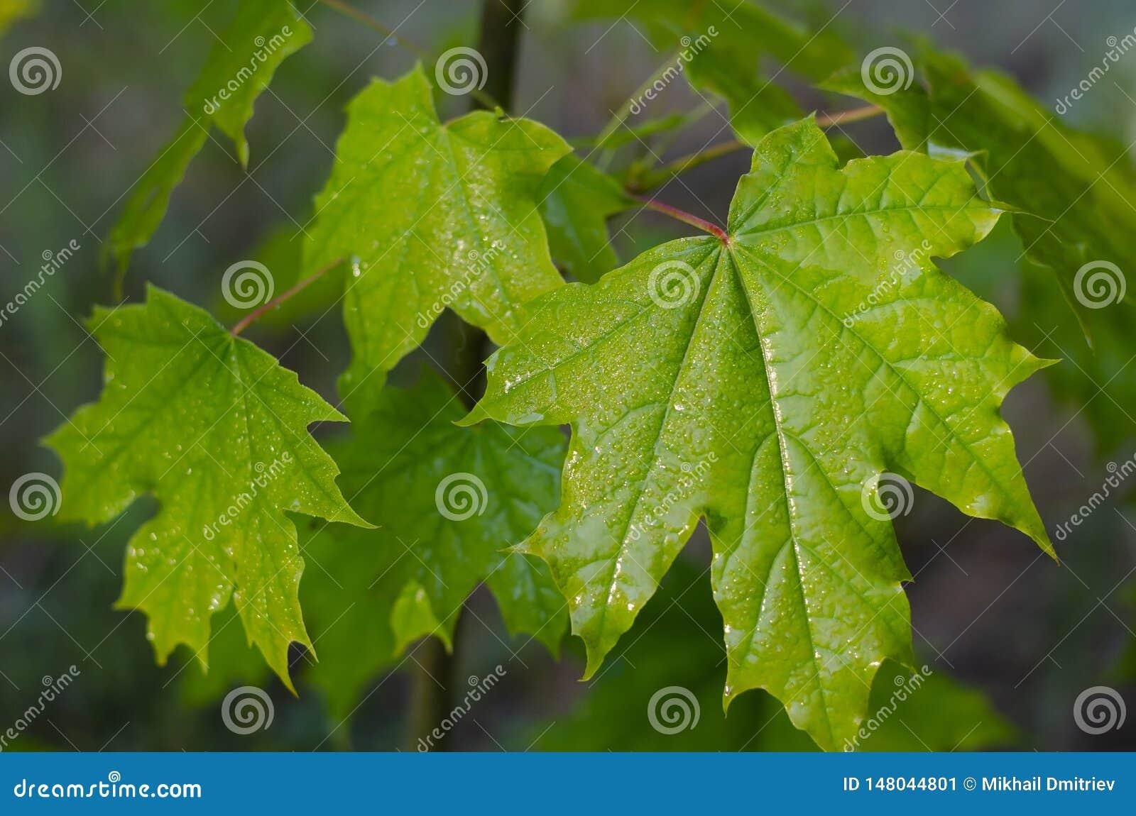 Feuille verte juteuse d un jeune érable après une pluie