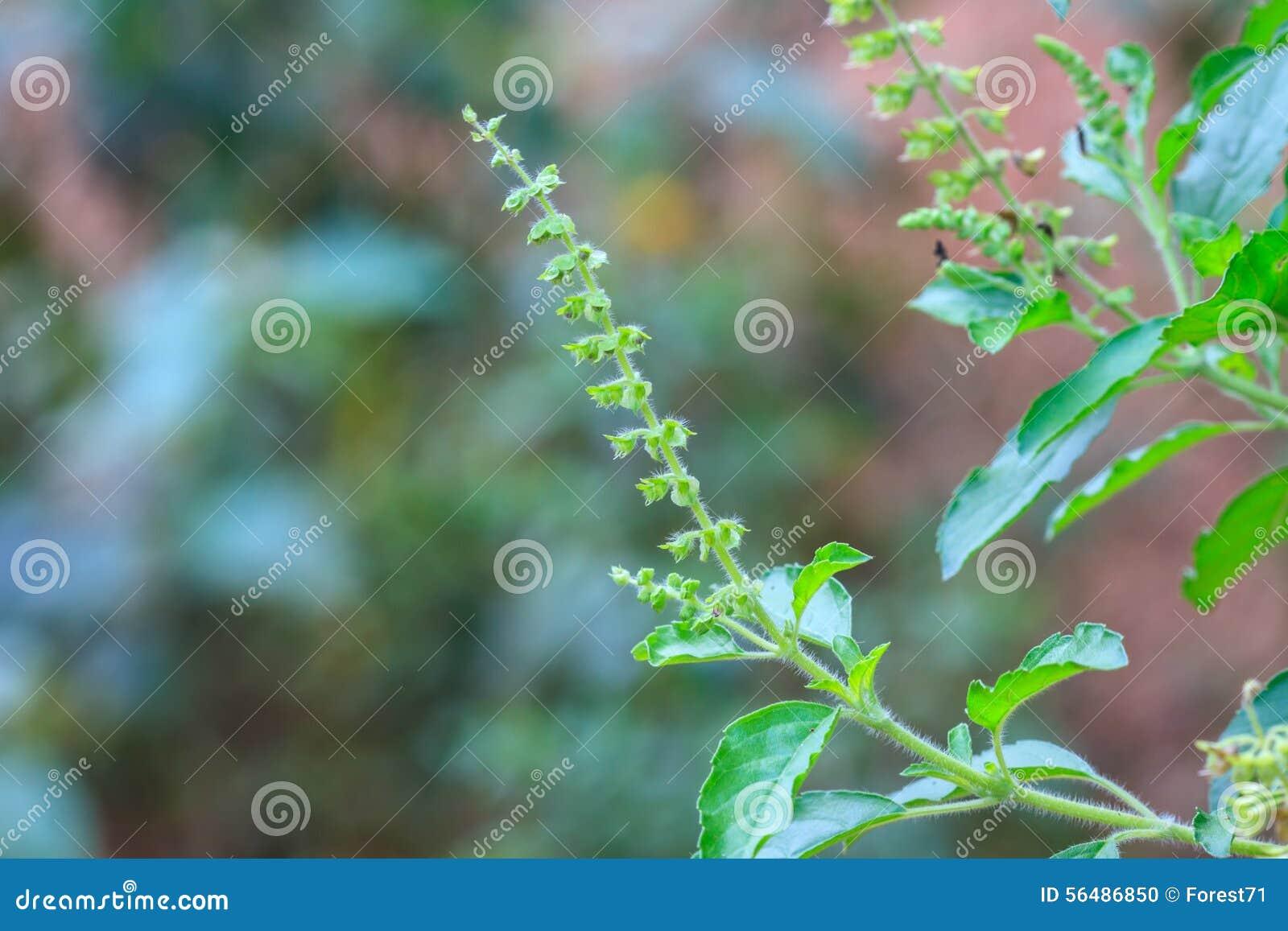 Feuilles basilic organiques fraîches