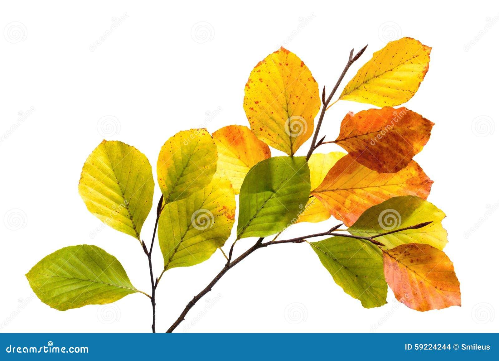 feuilles color es d 39 arbre de h tre d 39 isolement sur le. Black Bedroom Furniture Sets. Home Design Ideas