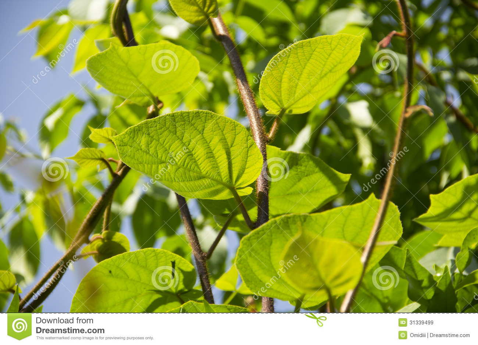 arbre de kiwi stock images - download 1,643 photos