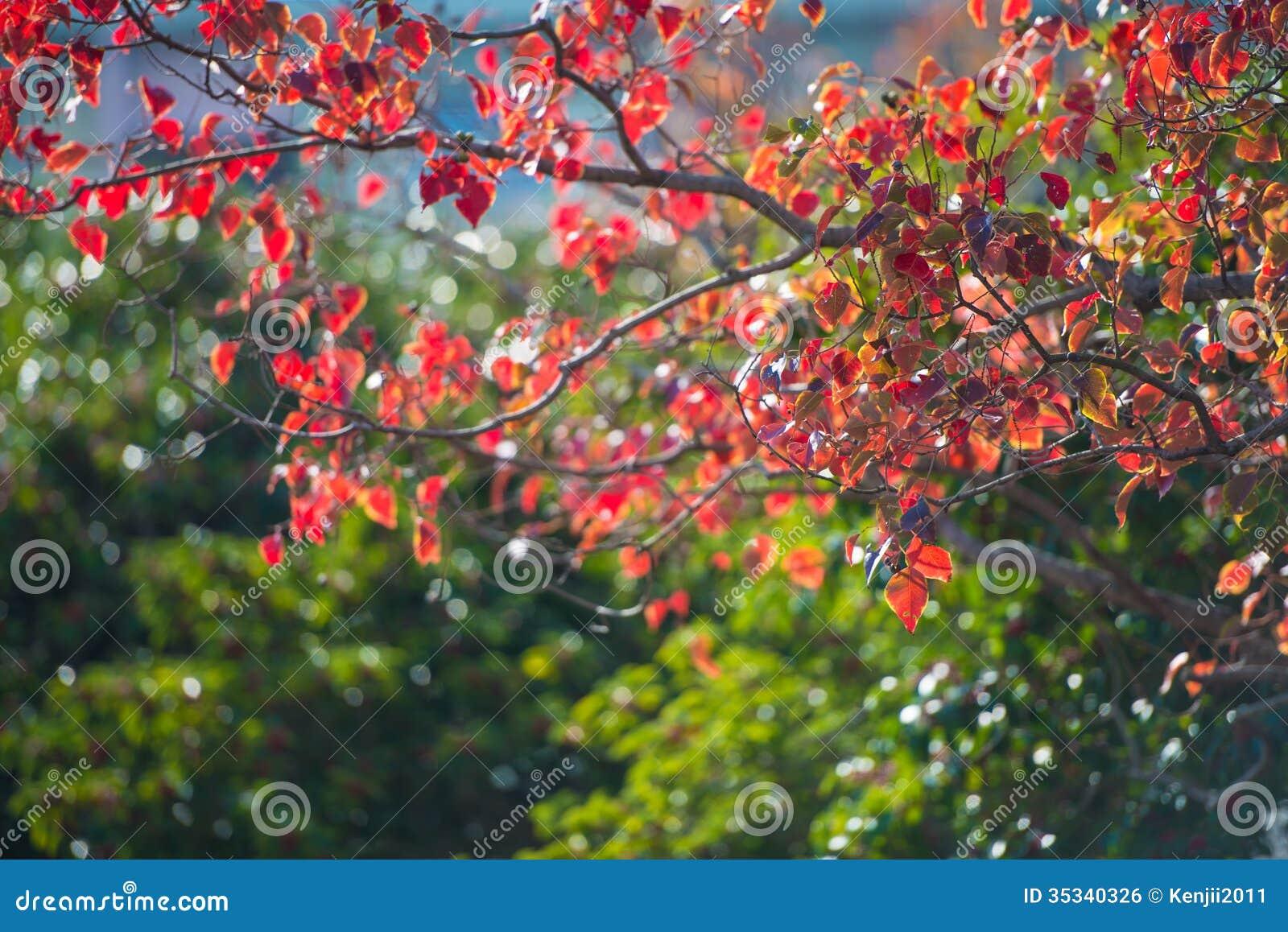 feuilles d 39 automne et arbre feuilles persistantes image libre de droits image 35340326. Black Bedroom Furniture Sets. Home Design Ideas