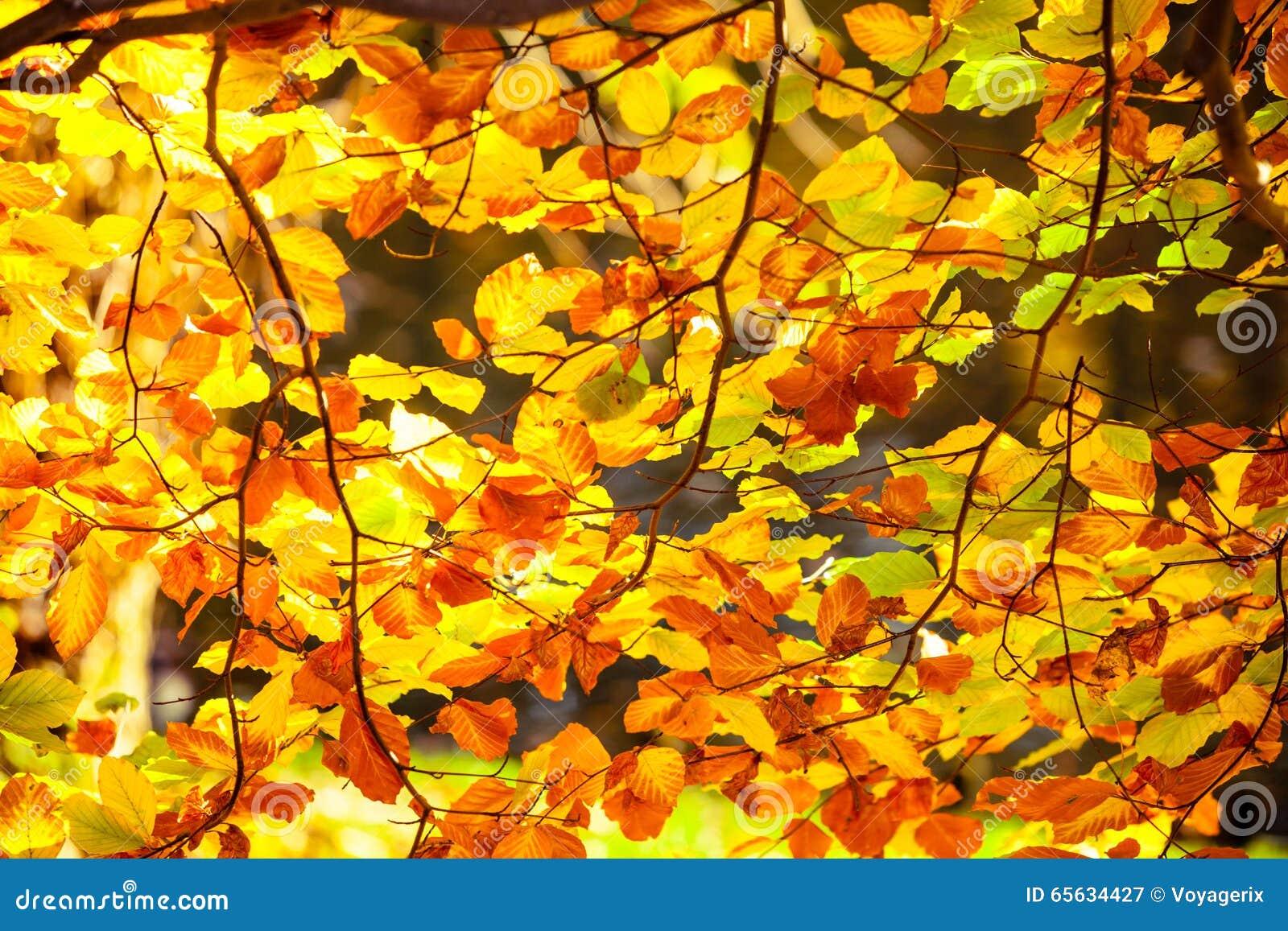 Feuilles d automne lumineuses, arbres de chute
