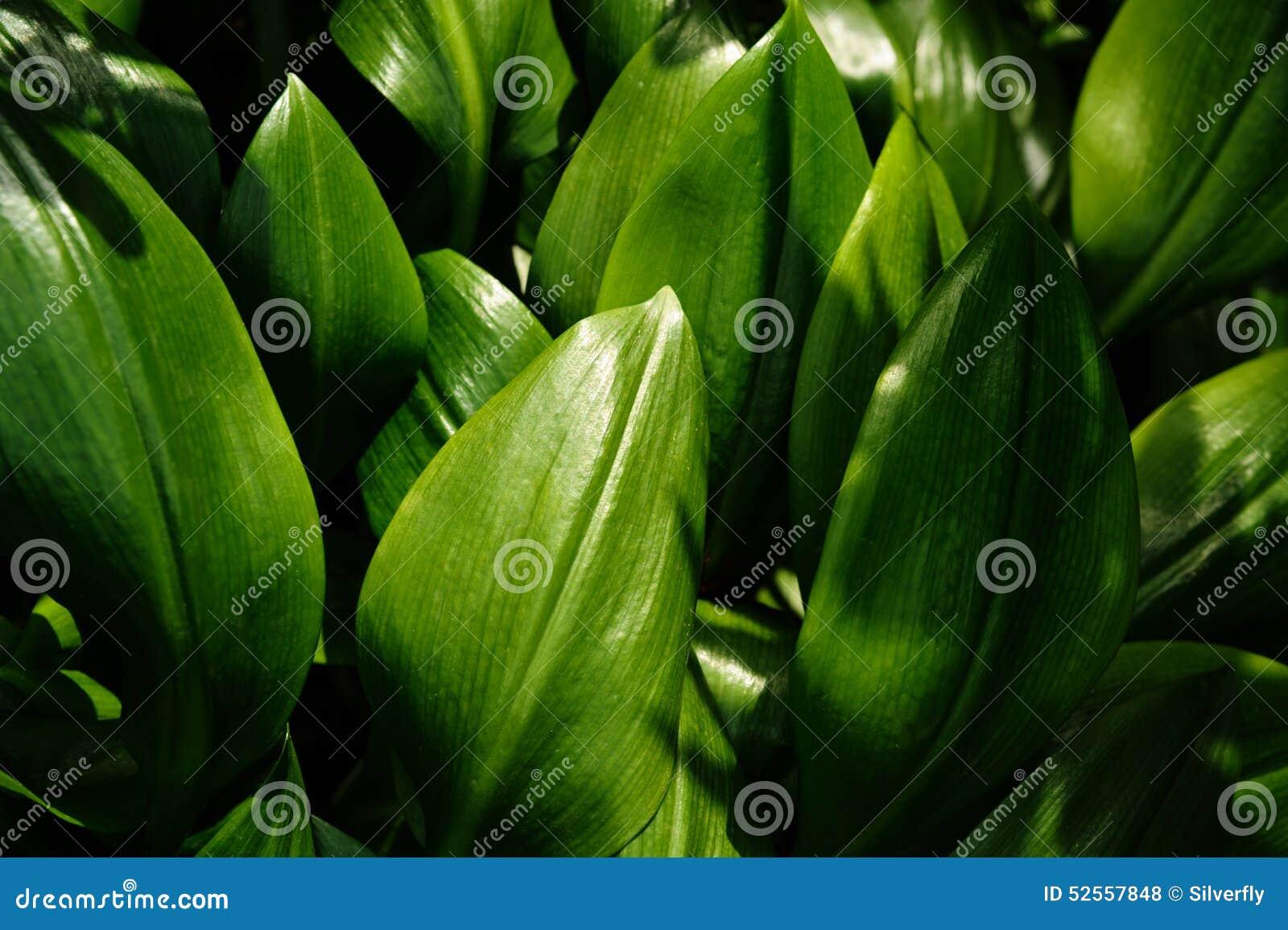 feuilles d 39 une plante tropicale photo stock image du fond lame 52557848. Black Bedroom Furniture Sets. Home Design Ideas