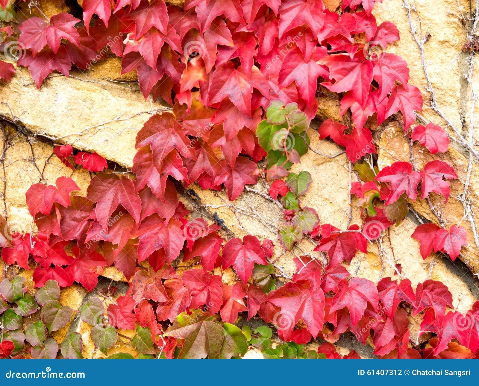 Feuilles de lierre en automne photo stock image du - Feuilles de blettes en epinard ...
