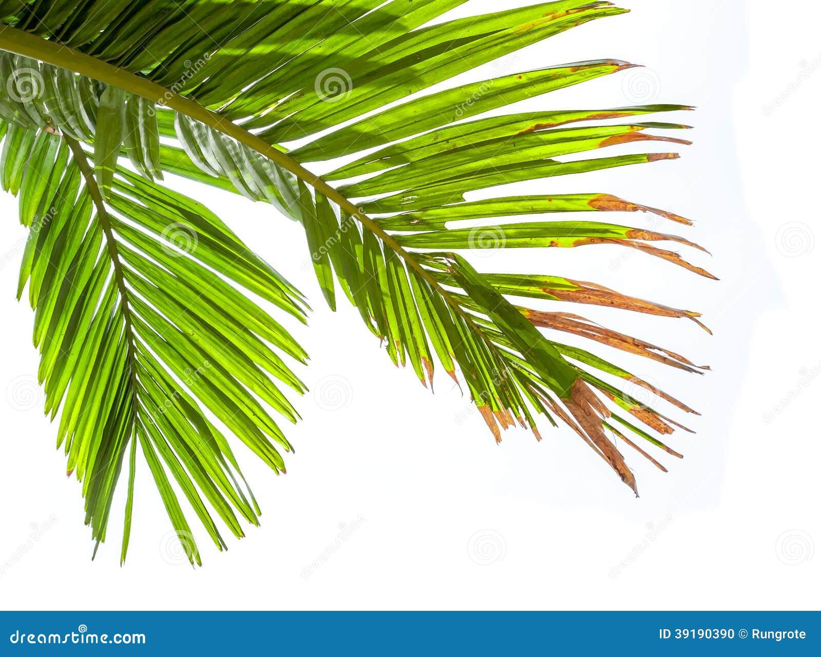 feuilles de palmier d 39 isolement sur le fond blanc photo stock image 39190390. Black Bedroom Furniture Sets. Home Design Ideas