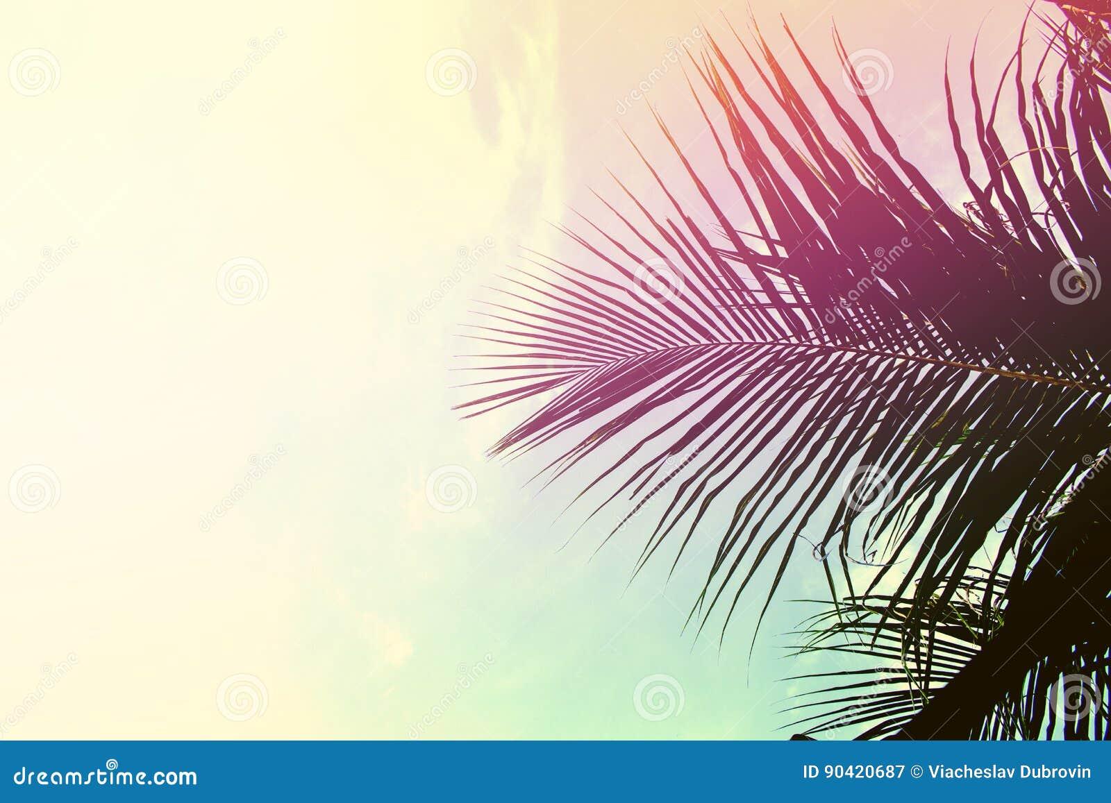 Feuilles de palmier sur le fond de ciel palmette au dessus de ciel le rose et le jaune ont - Palmier hawaien feuilles jaunes ...
