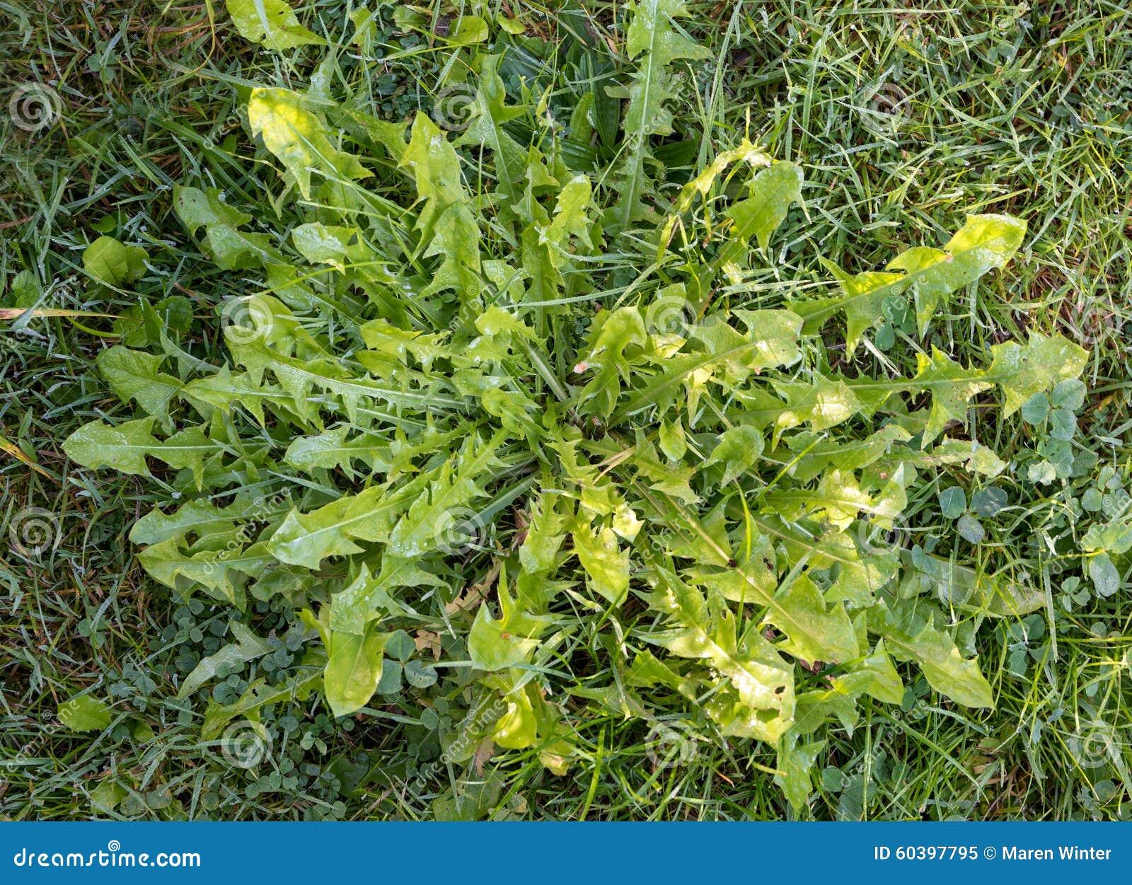 Feuilles de pissenlit de mauvaise herbe dans la pelouse ou de salade naturelle image stock - Mauvaise herbe pelouse ...