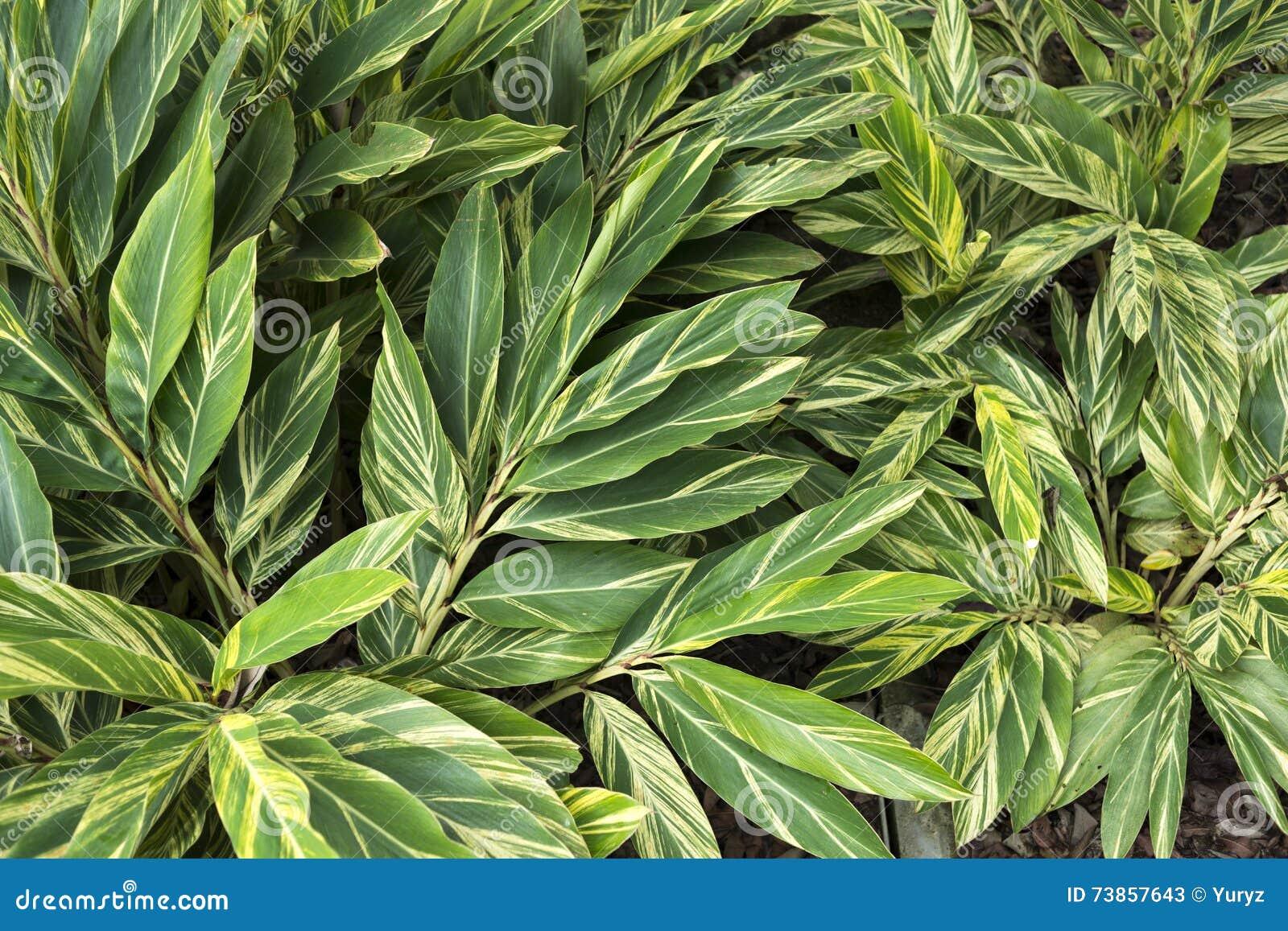 Feuilles de plante tropicale image stock image du for Plante 9 feuilles