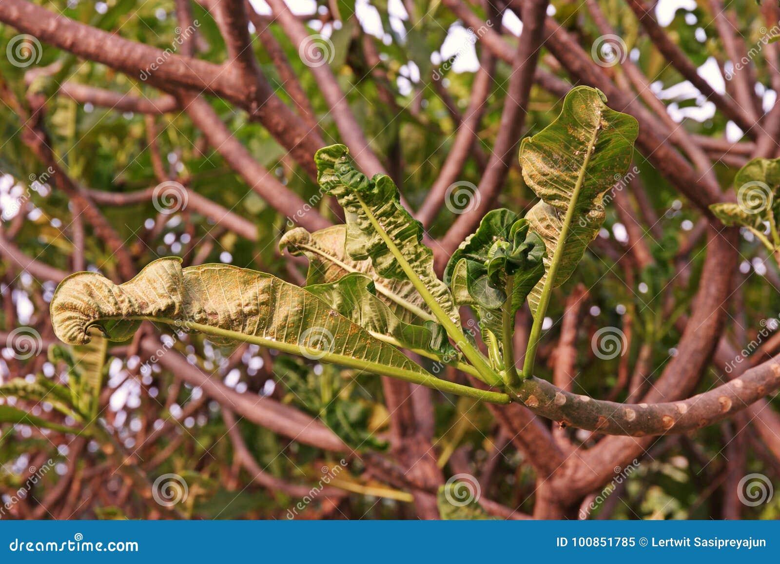 Feuilles de Plumeria et malformation de pousse