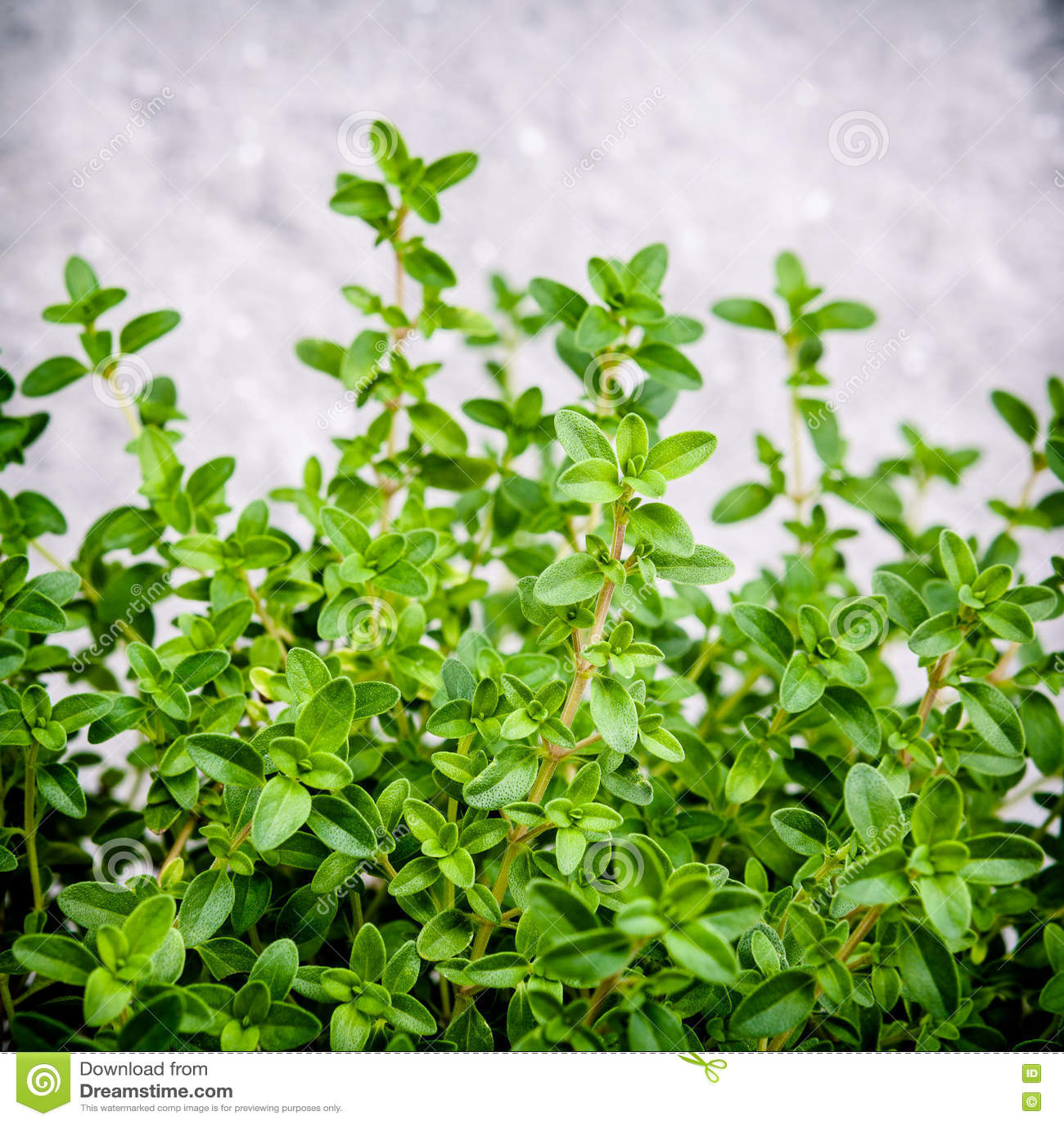 feuilles de thym de citron de plan rapproch du jardin d 39 herbes aromatiques citriodo de thymus. Black Bedroom Furniture Sets. Home Design Ideas