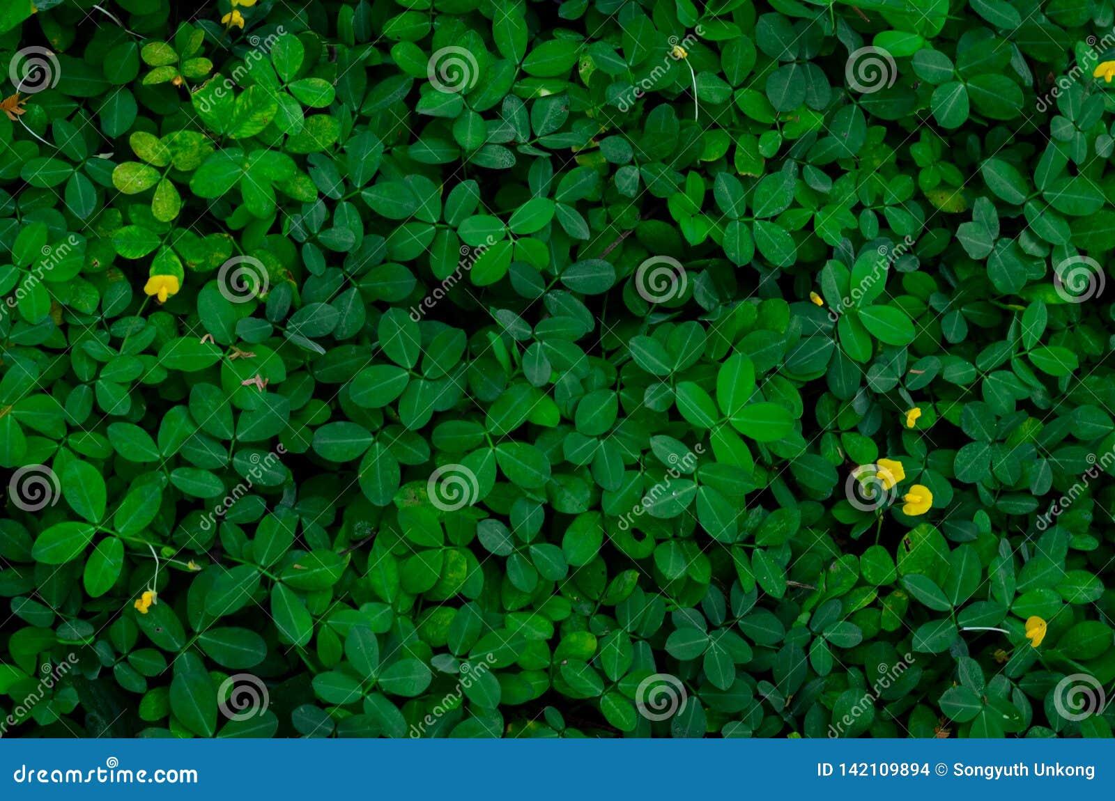 Feuilles de vert de fond et de texture et quelques fleurs jaunes de Pinto Peanut