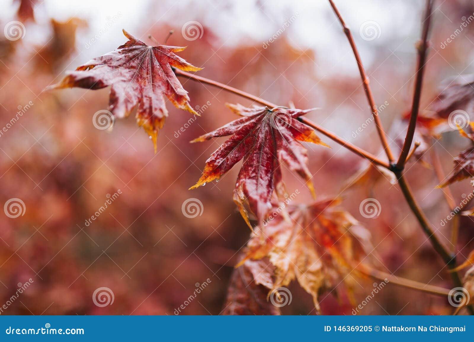 Feuilles et branche d érable rouge avec des baisses de l eau de pluie là-dessus Pluie pendant l hiver, tirs en gros plan