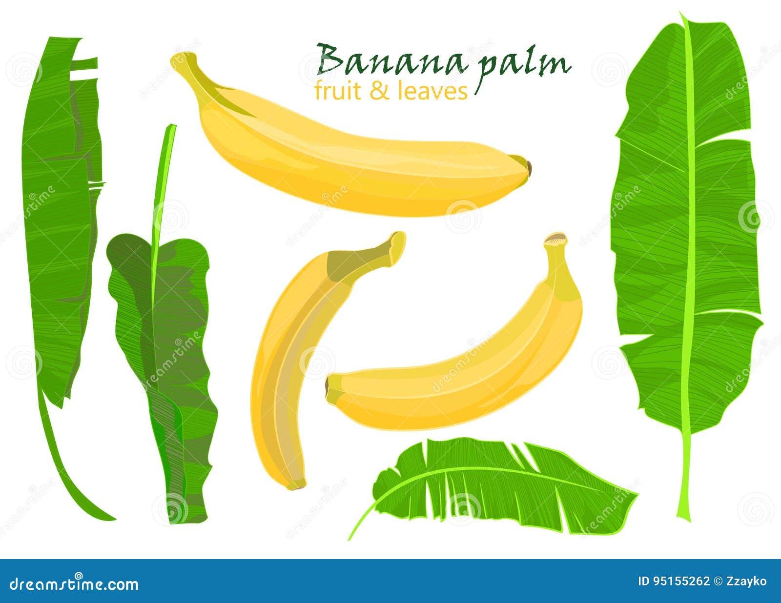 Feuilles Et Fruits Tropicaux De Banane De Paume De Branche Dessin