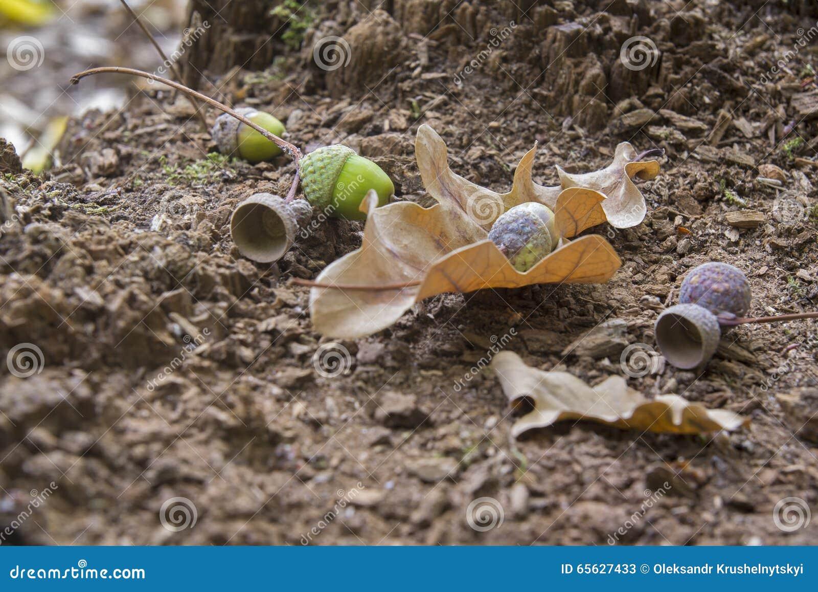 Feuilles et glands en bois de chêne Plan rapproché