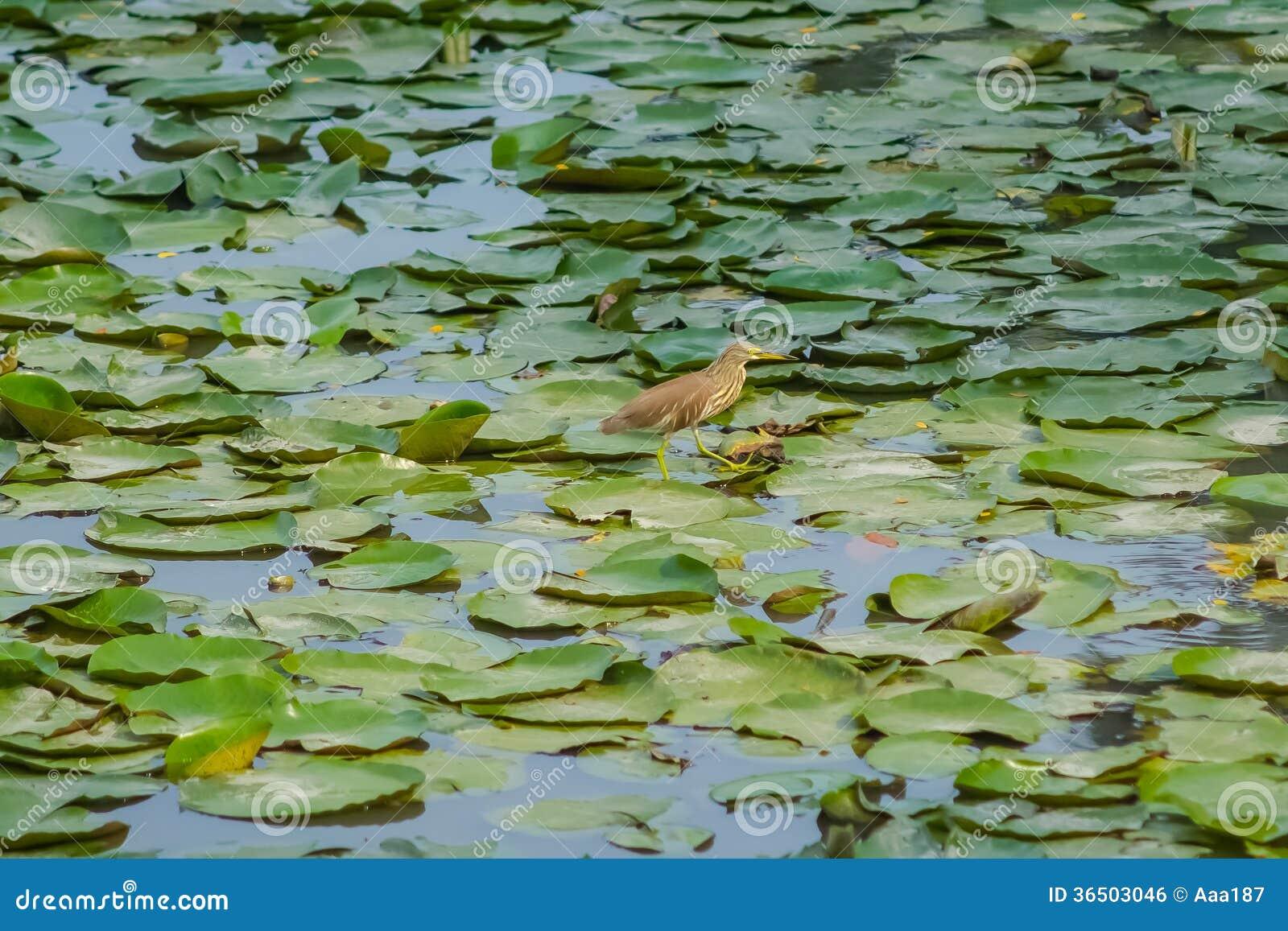 Feuilles et oiseau de Lotus sur l étang