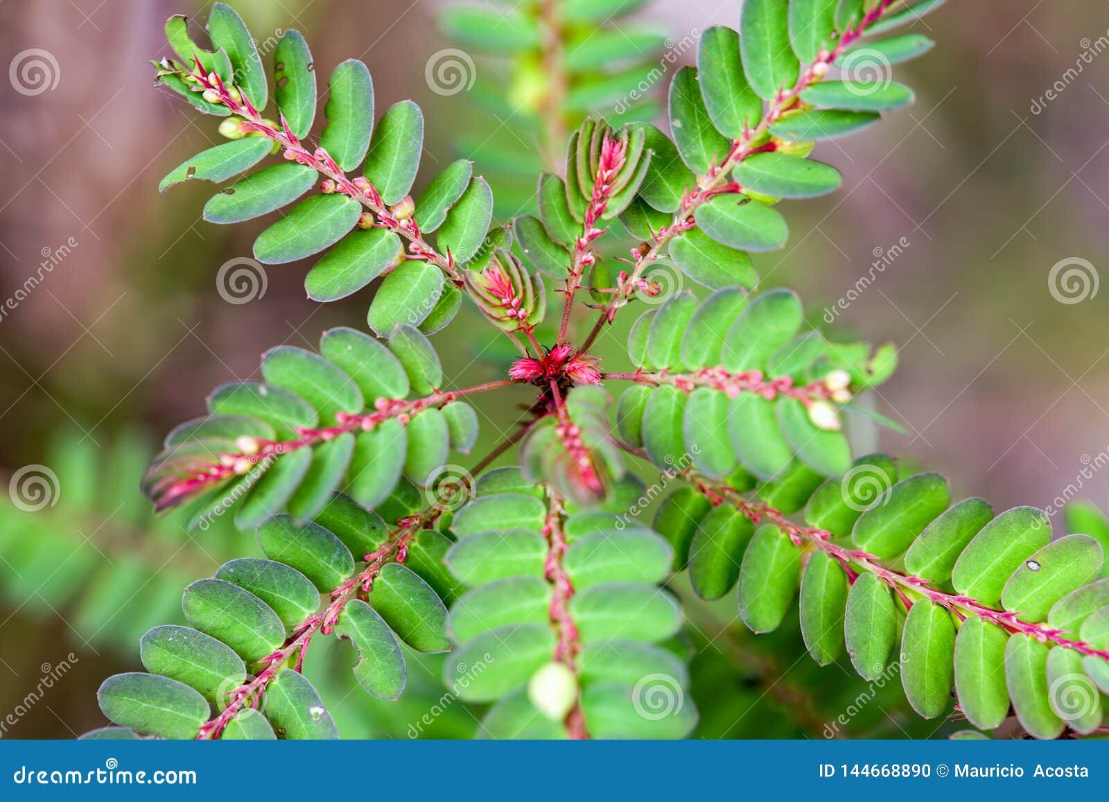Feuilles fraîches d un arbre en soie persan